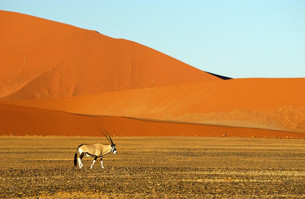 white and brown animal with antler on brown sand