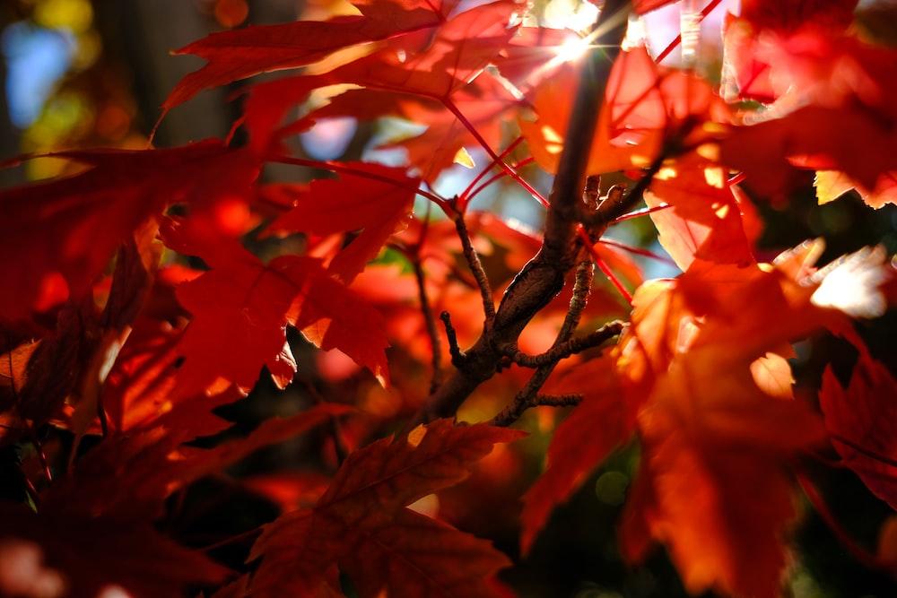 maple leaves taken during daytime