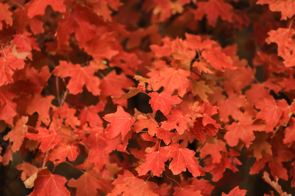 red maple leaves at daytime