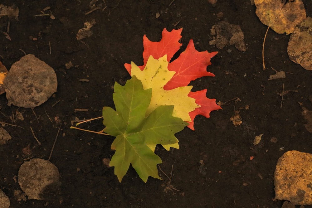yellow maple leaf on black surface