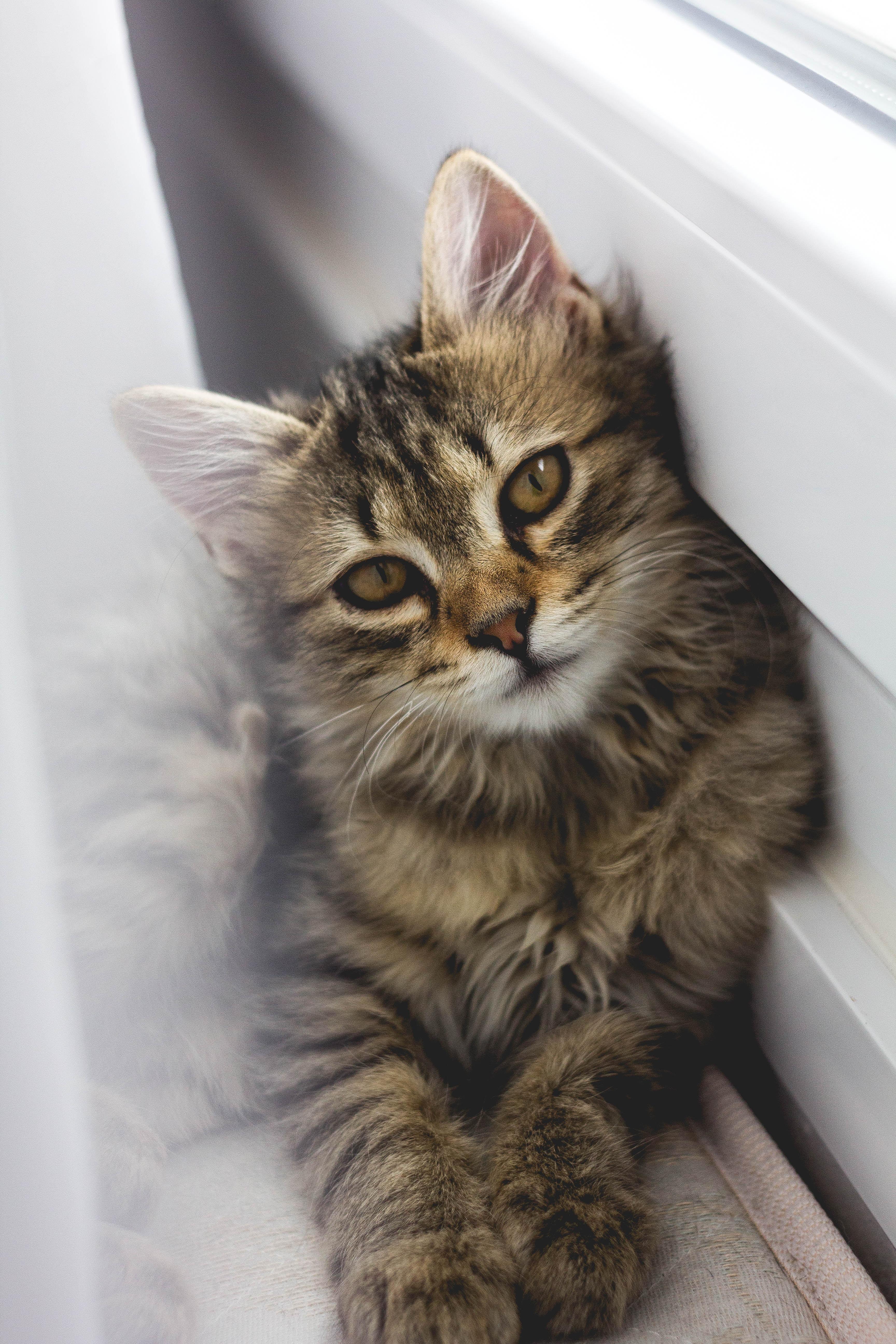 gray tabby kitten leaning on white wall
