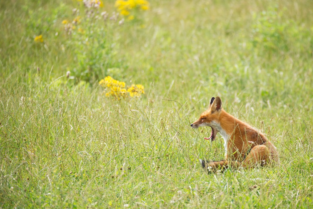 photo of yawning fox on grass