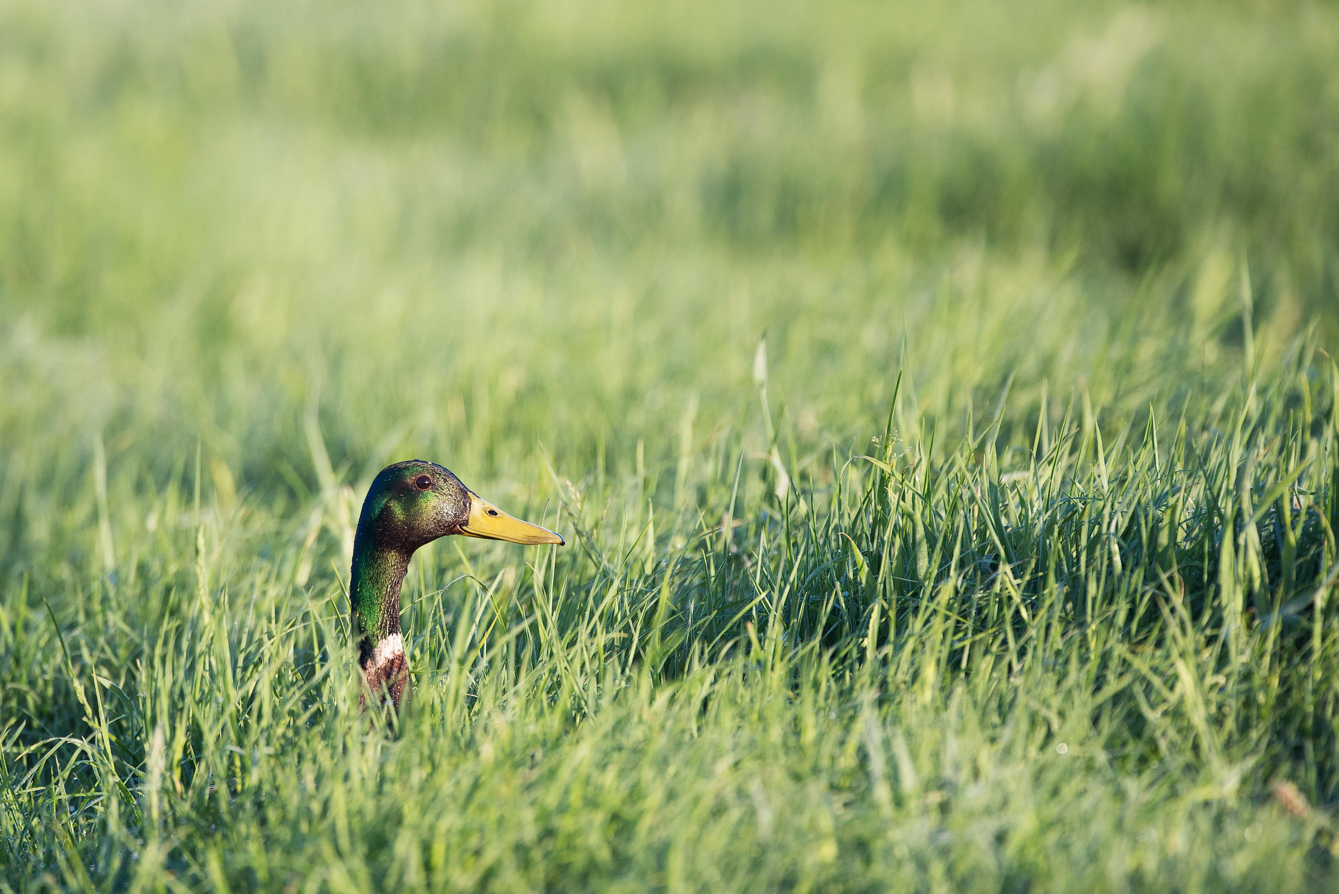 male mallard duck on grasses