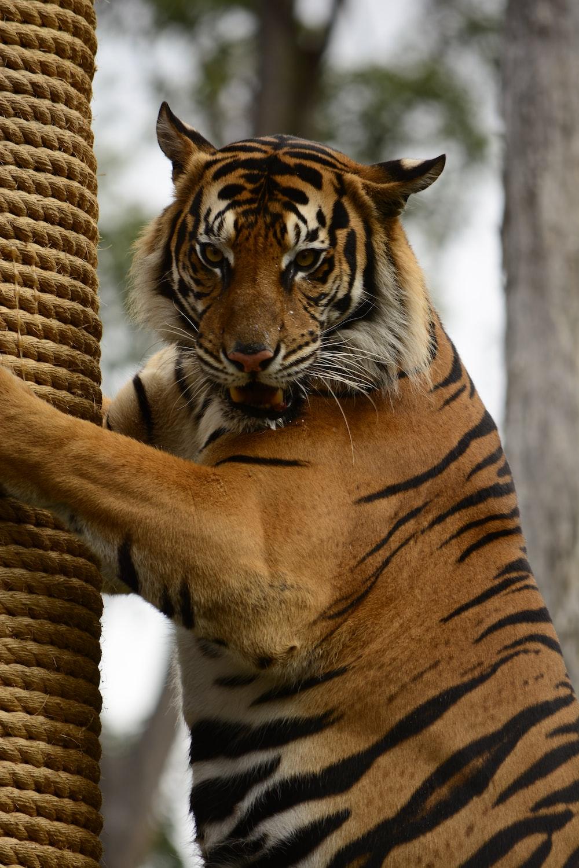 closeup photography of bengal tiger