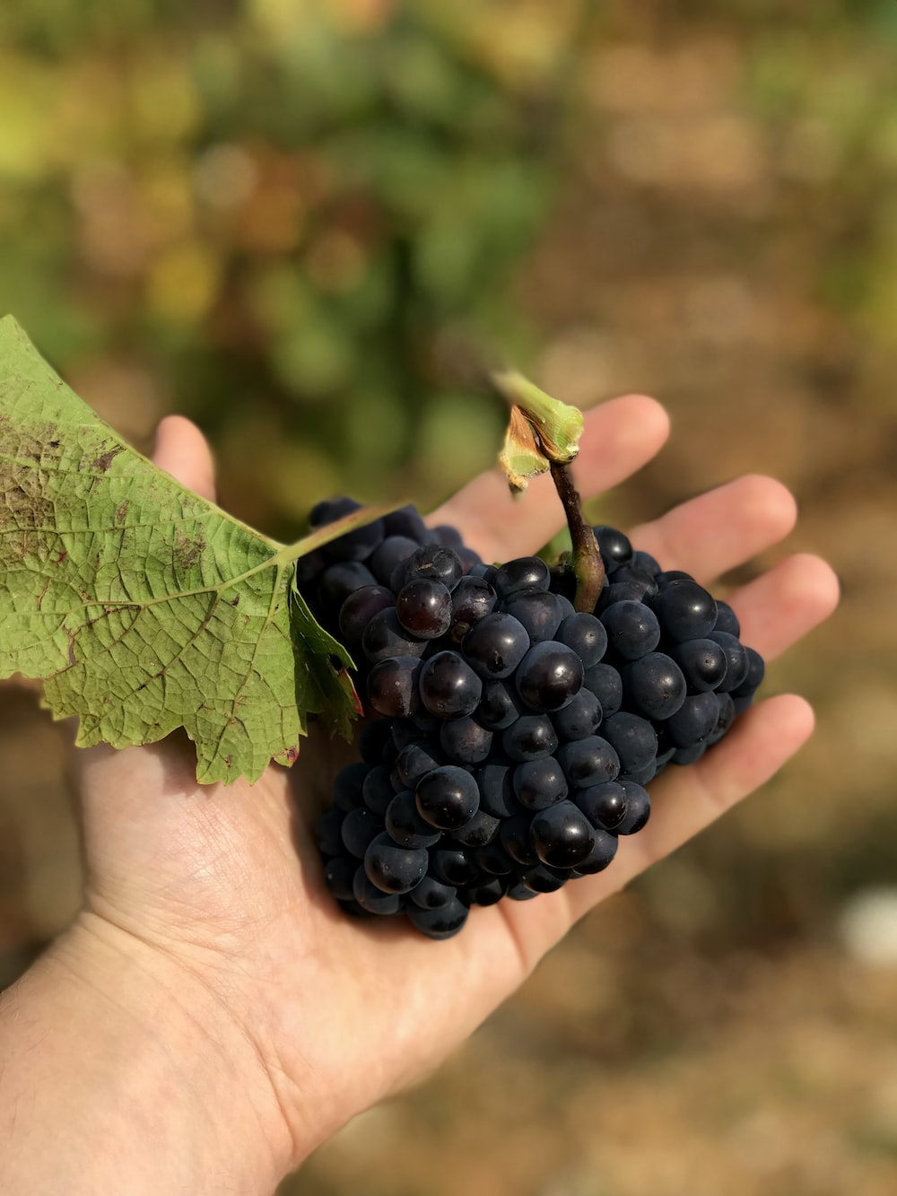 selective focus photography of person holding grapes
