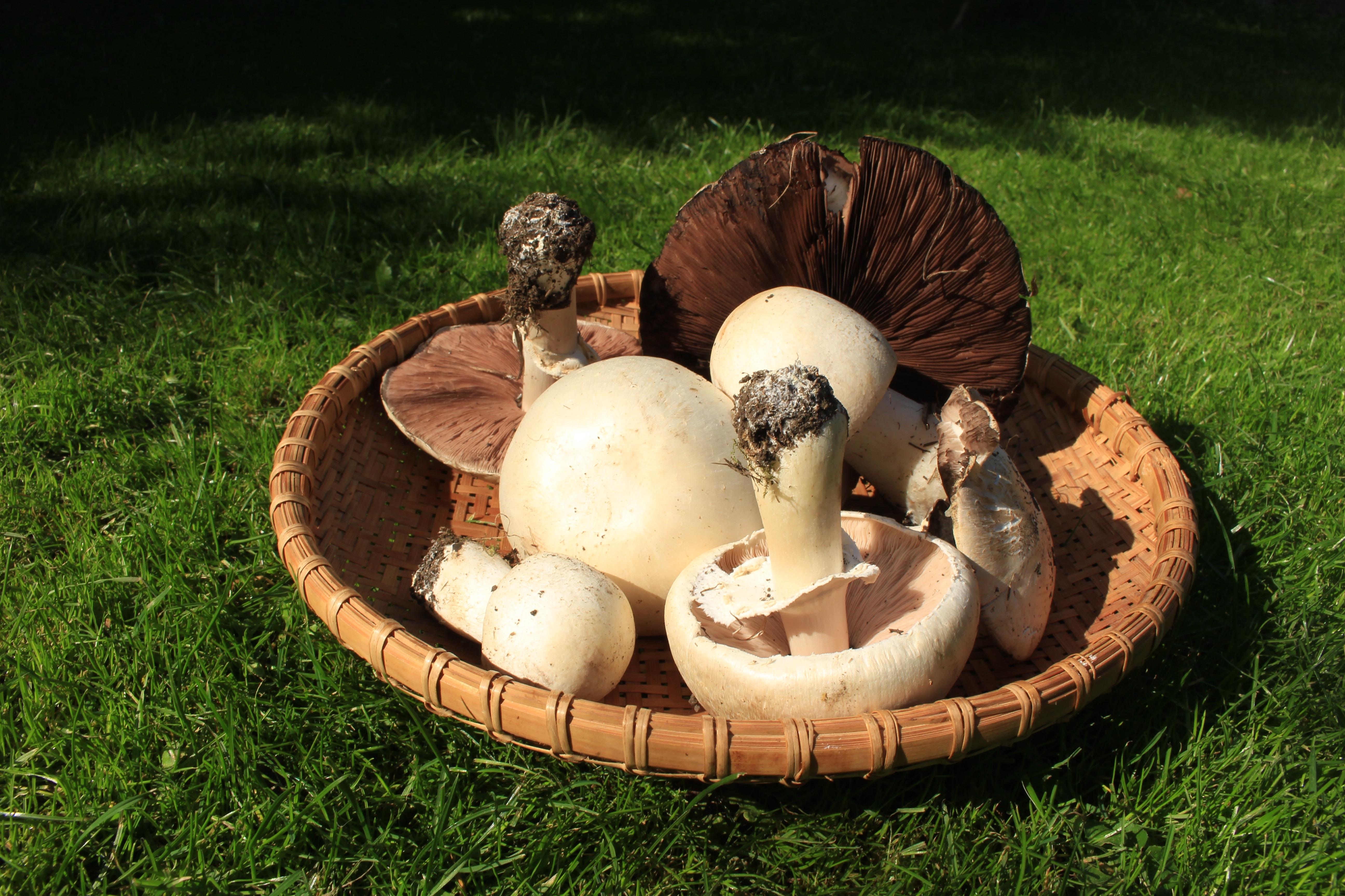 white and brown mushroom on brown winnowing basket