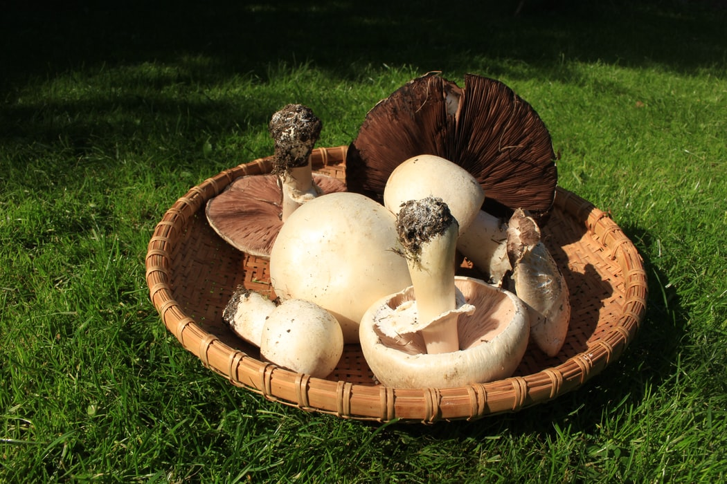 Harvesting Mushrooms | Grow Mushrooms In Your Home With These Five Easy Steps | See more at: http://gardenseason.com/grow-mushrooms-in-your-home-with-these-five-easy-steps