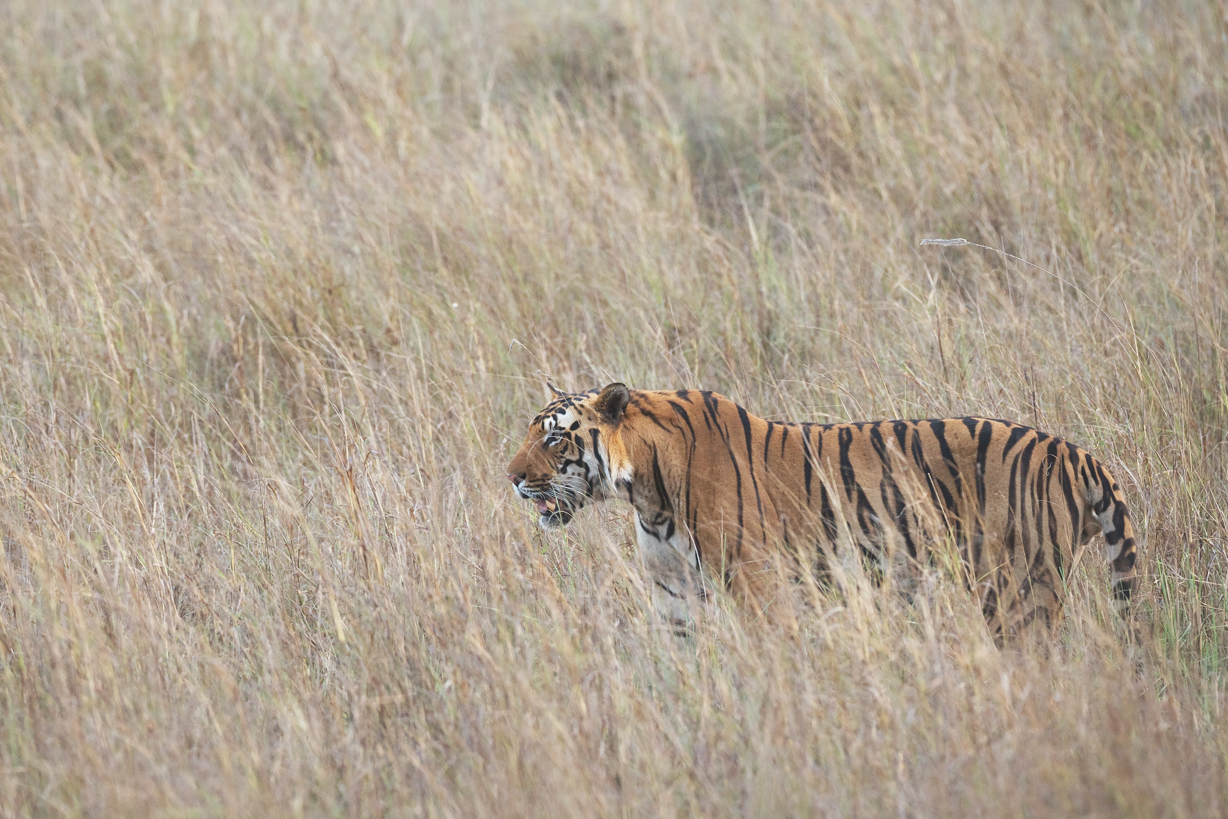 Bengal tiger standing in tall grass during daytime