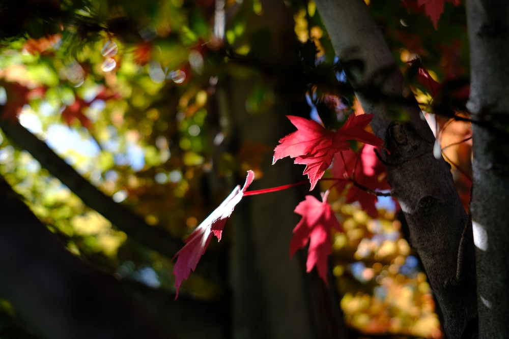 selective focus photograph of red maple tree