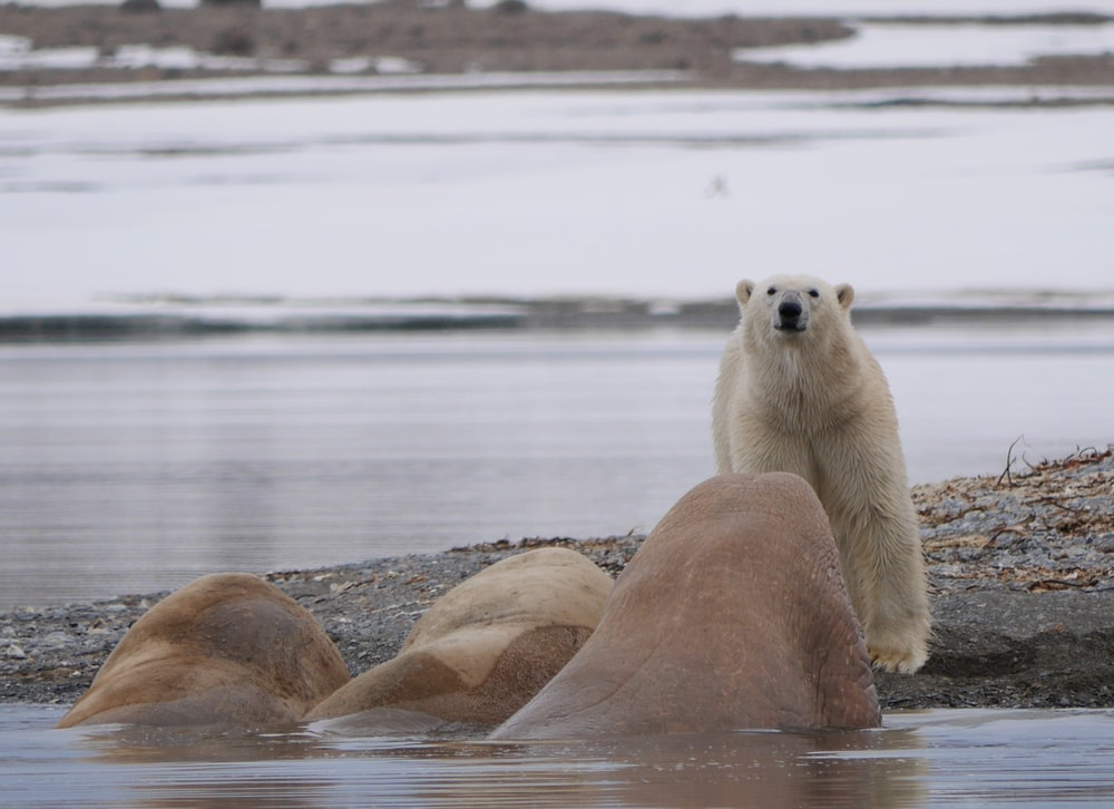 polar bear standing in front of three walrus on water