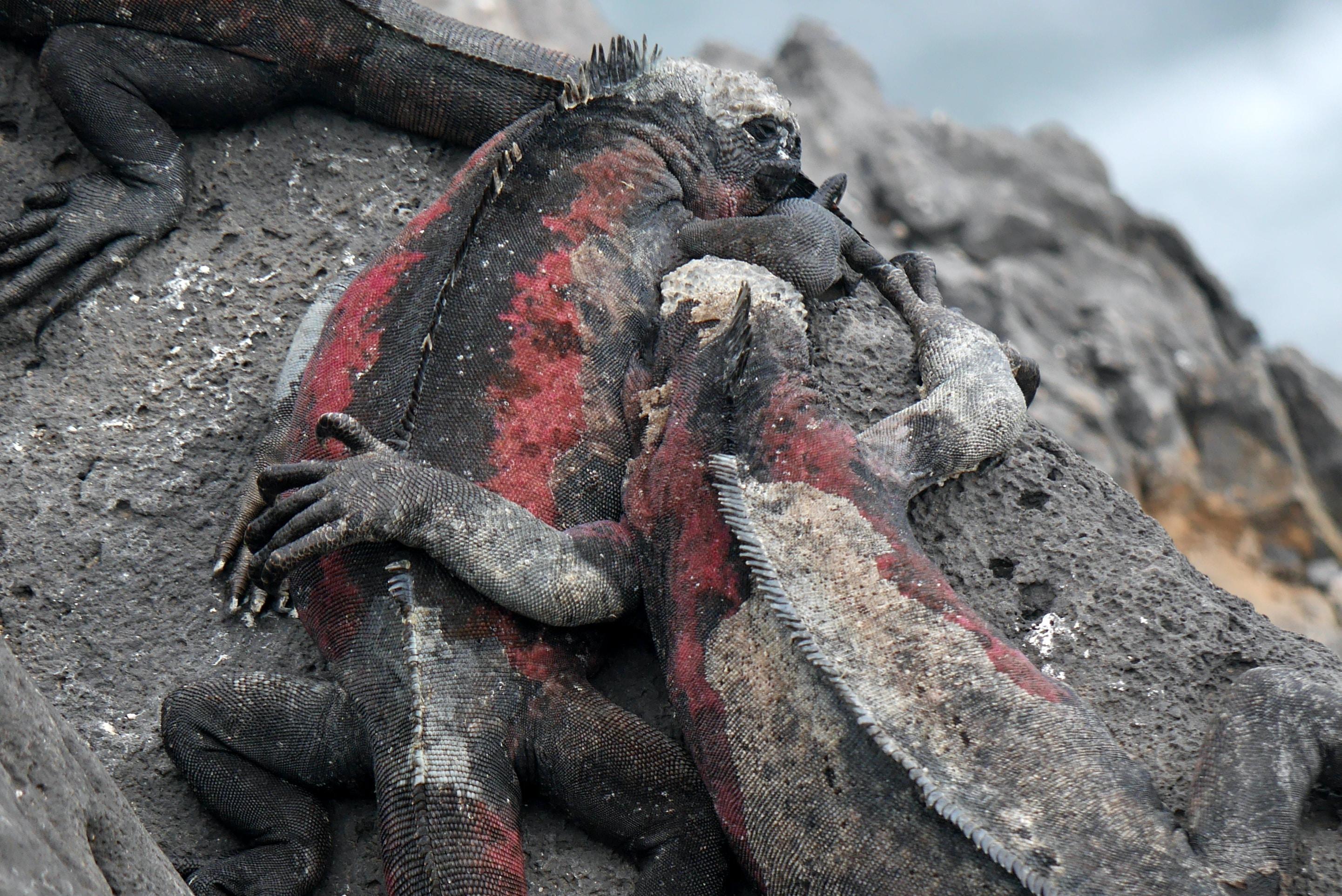 close-up photography of three iguanas on rock