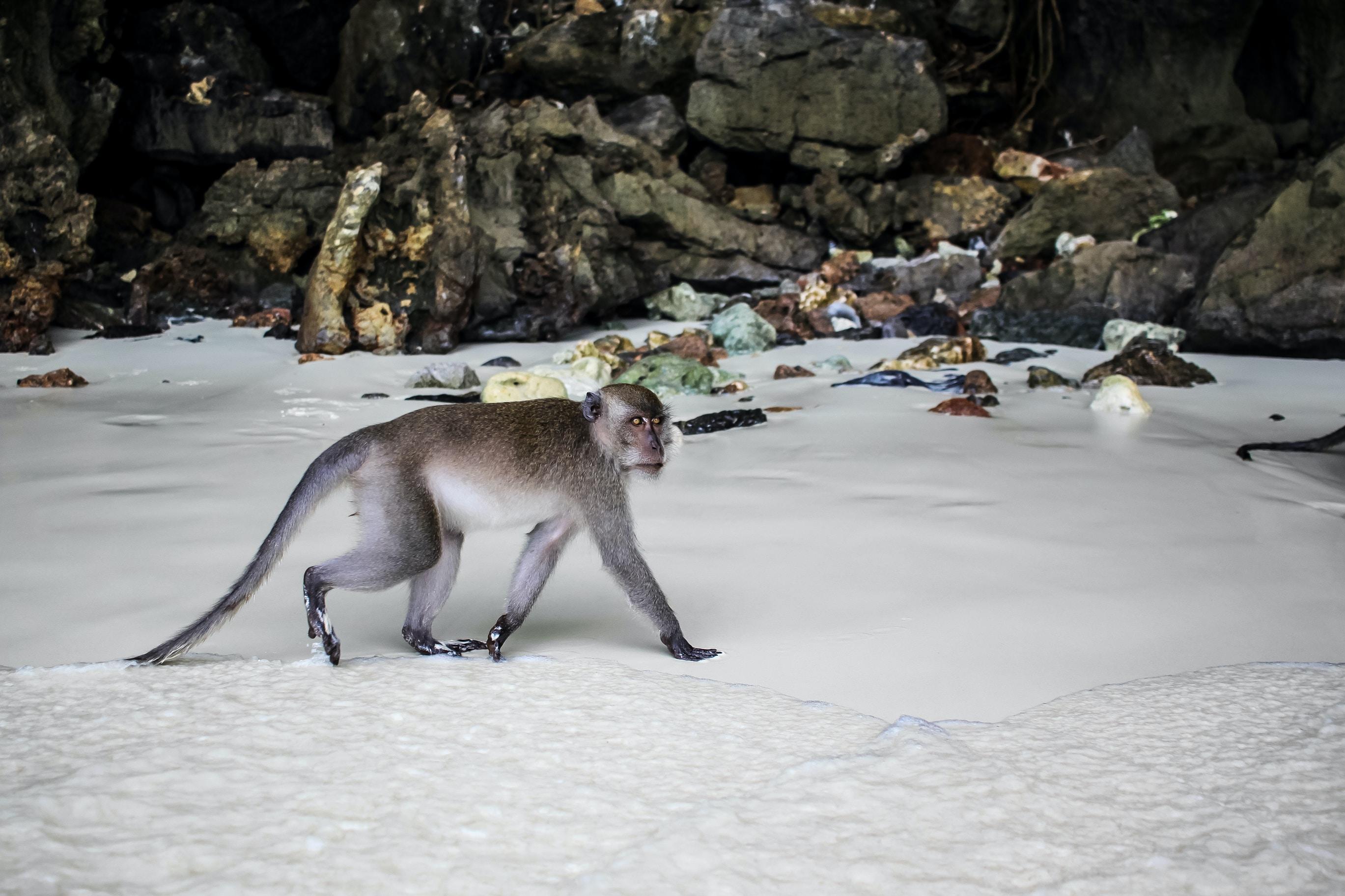gray monkey crawling on white snow