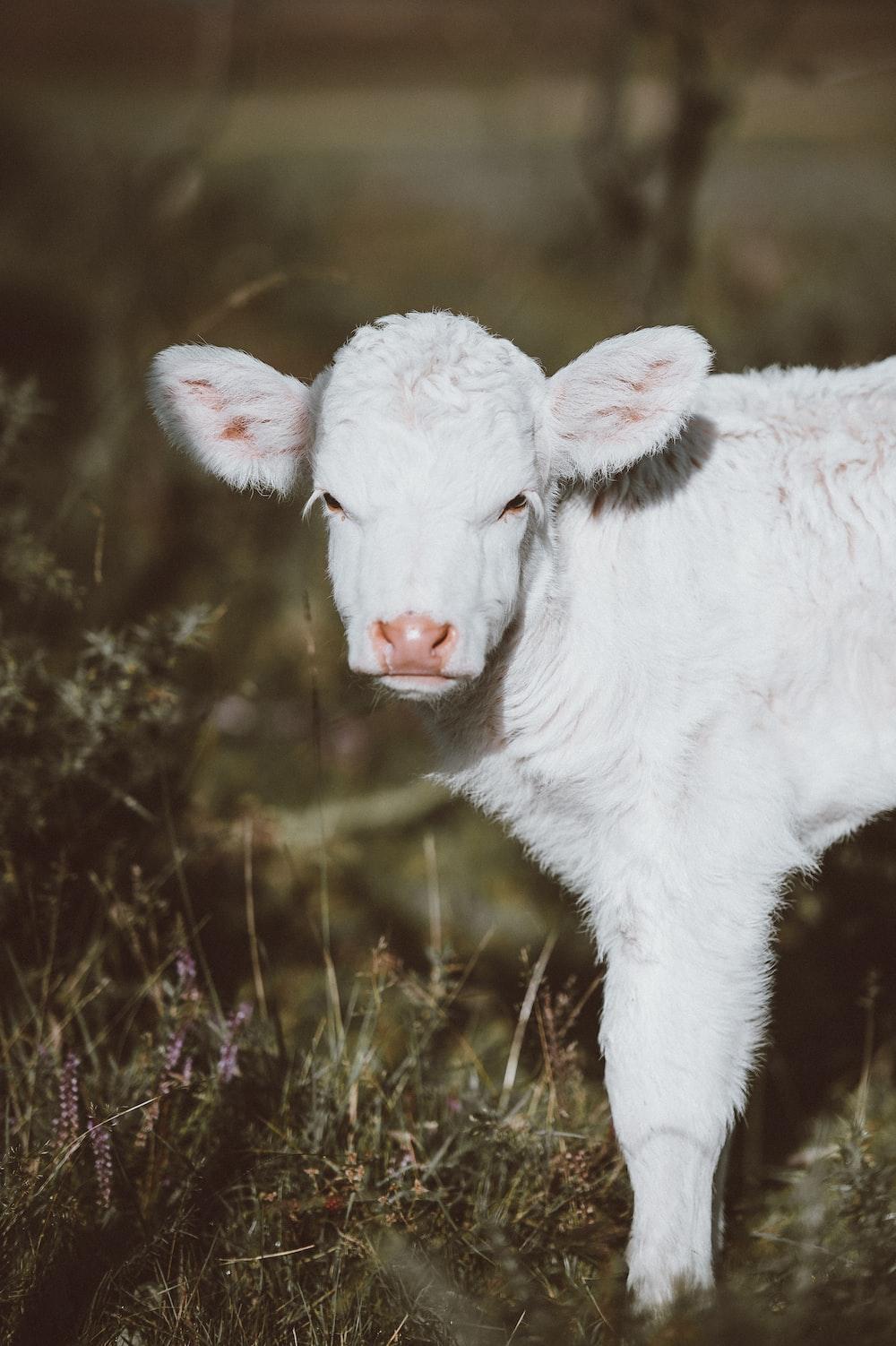 white lamb on green grass