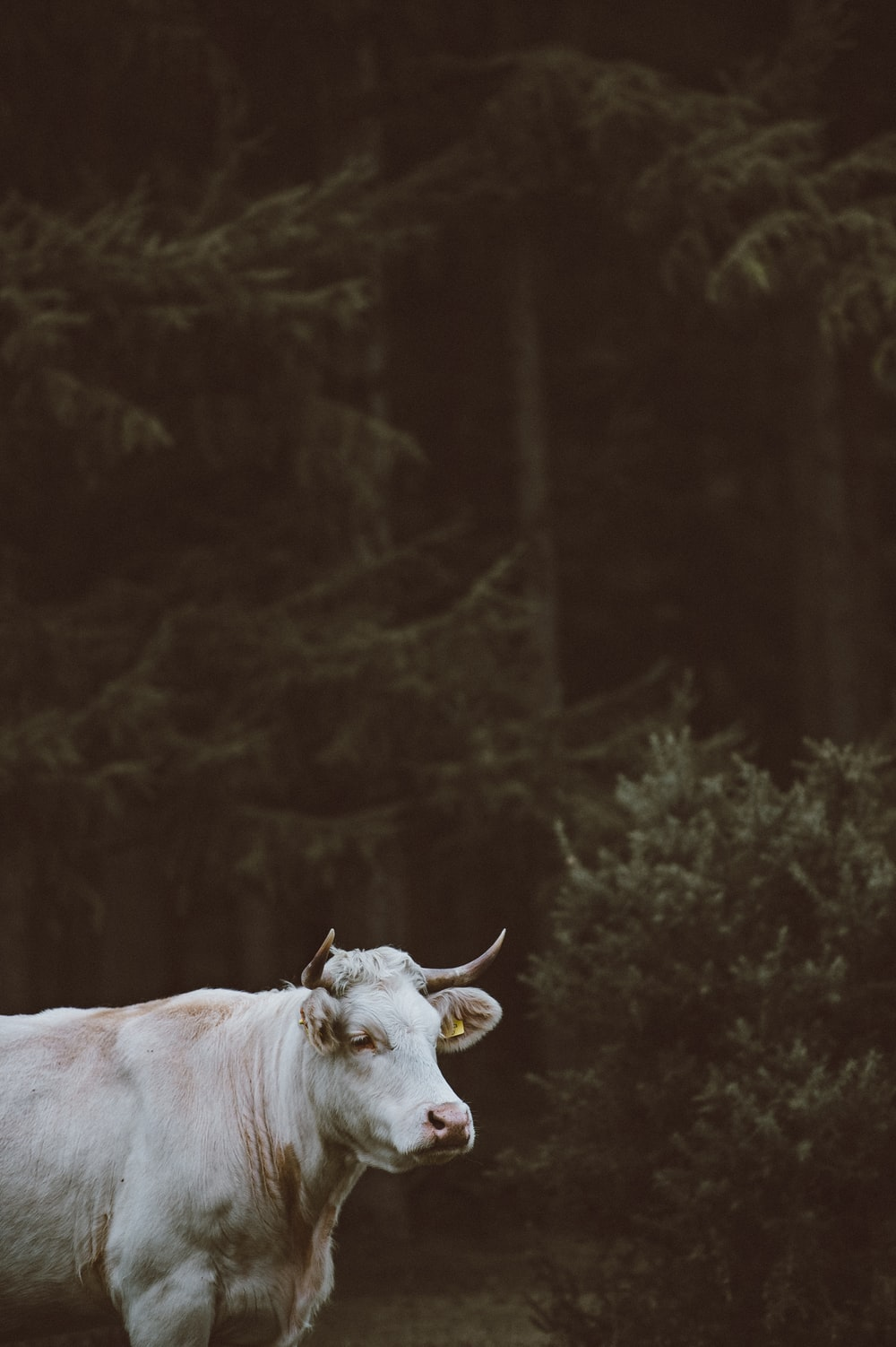 shallow focus photography of white cow near forest