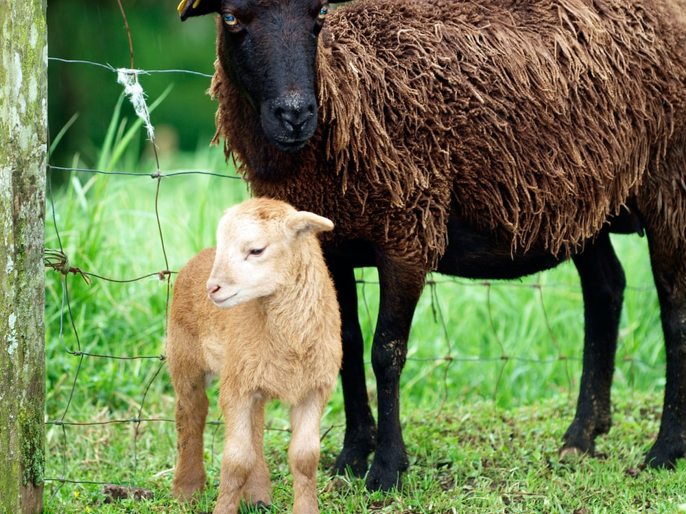 brown calf standing beside brown sheep