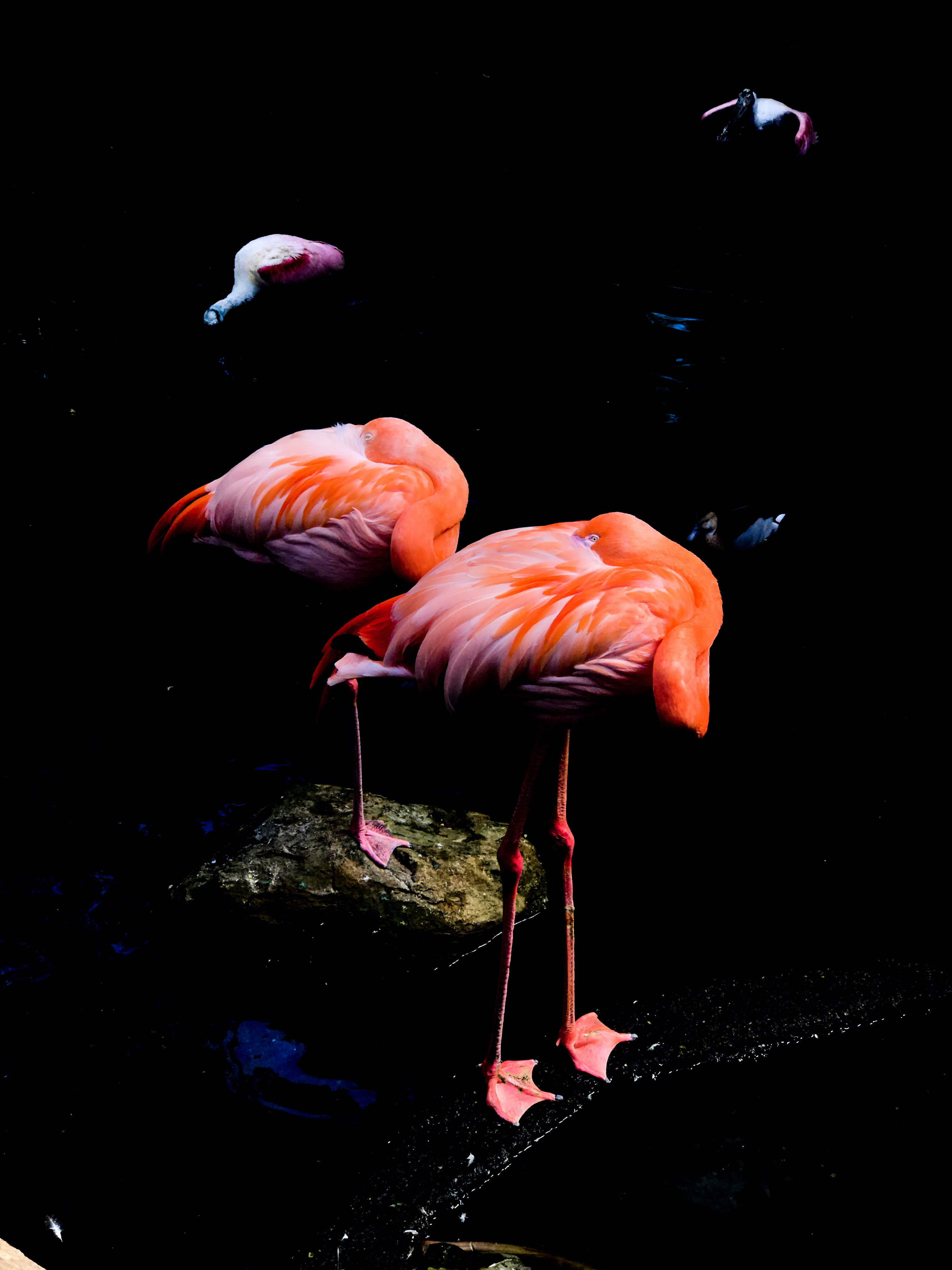 low-light photo of two orange flamingos