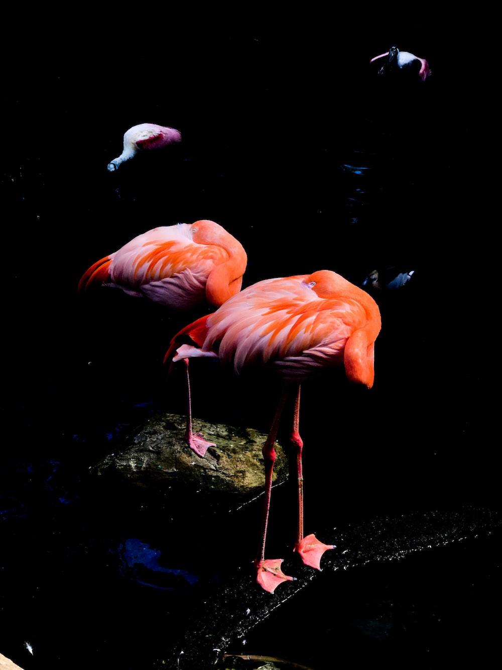 low-light photo of two orange flamingos