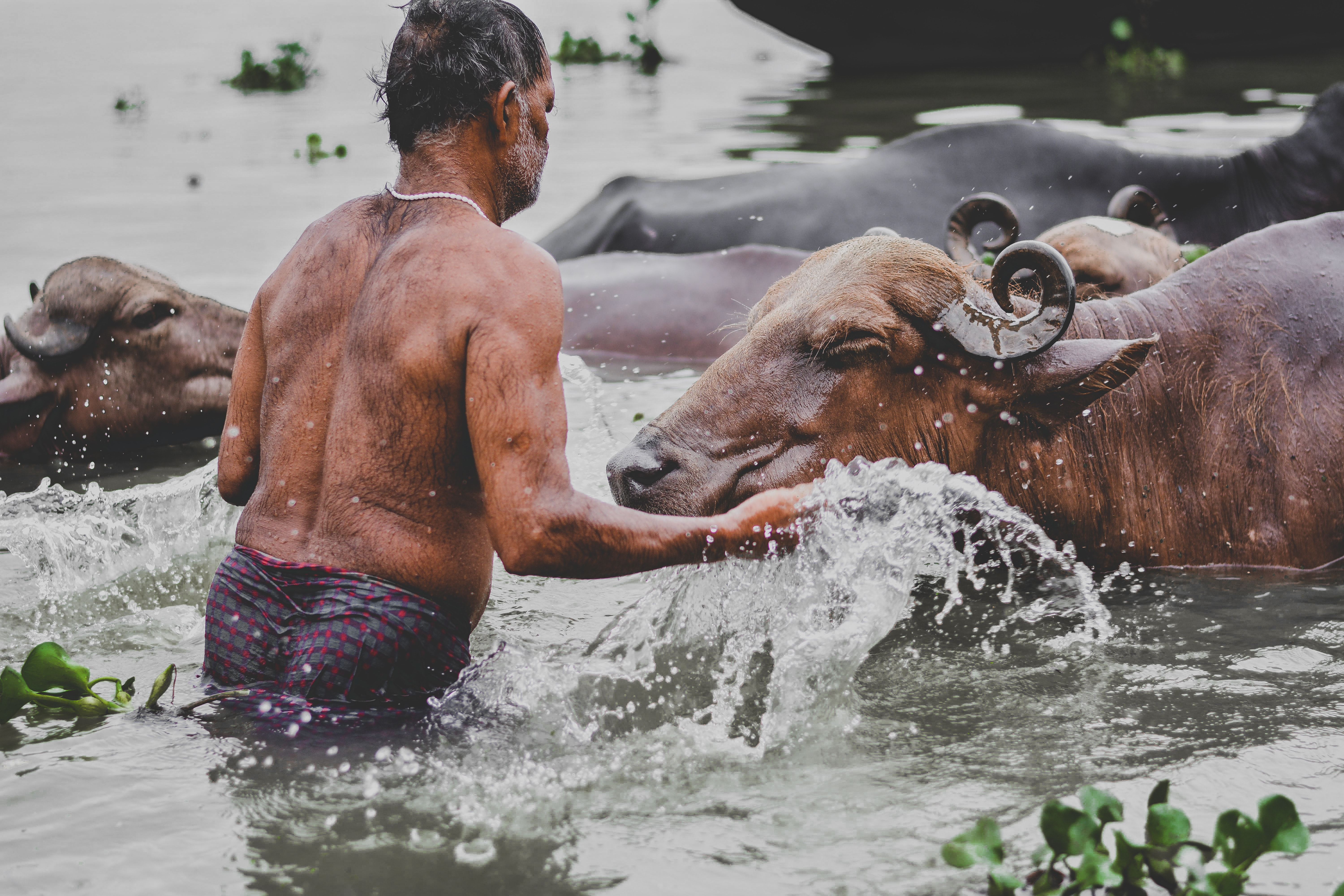 person on body of water surrounded with buffaloes