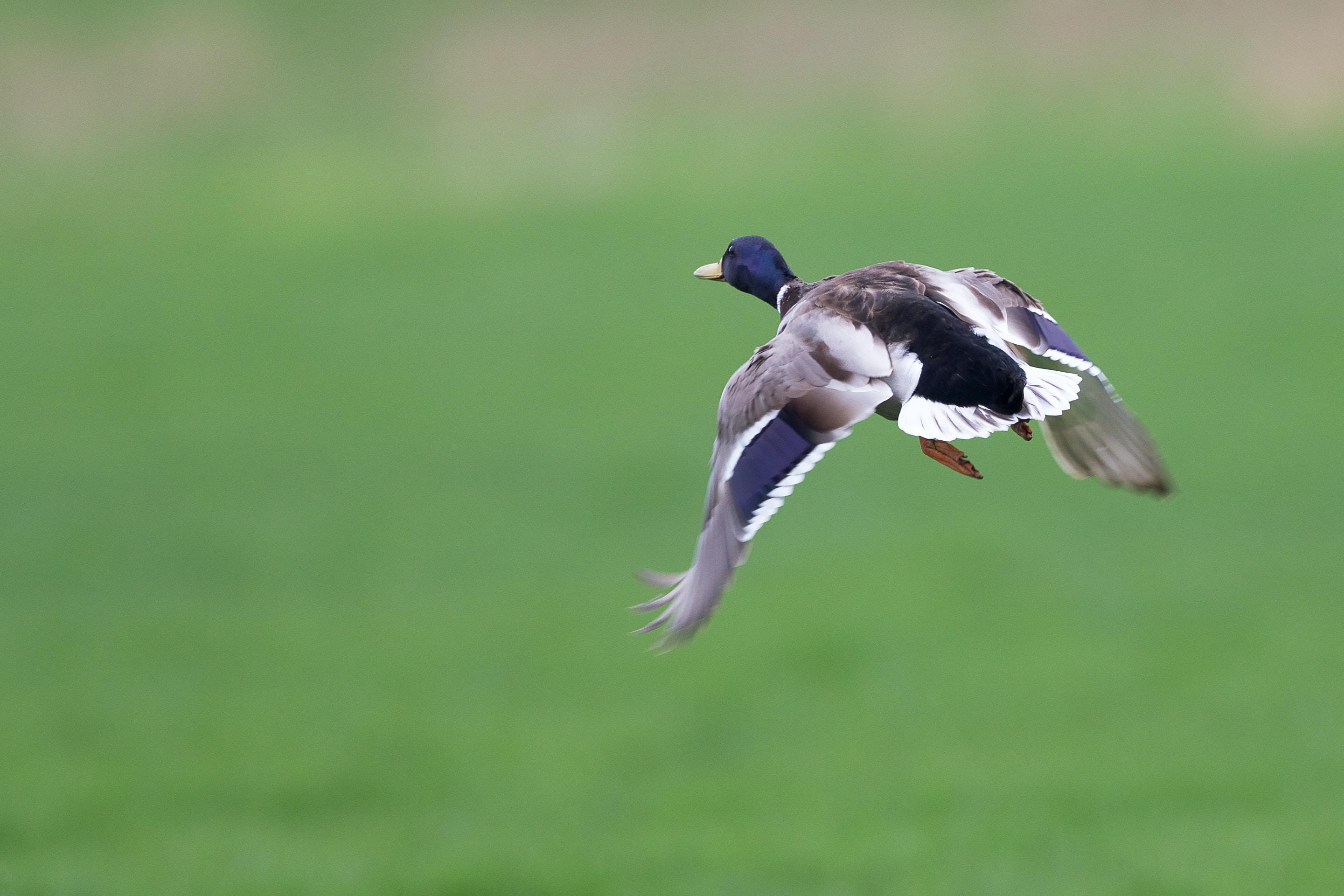 flying male mallard duck