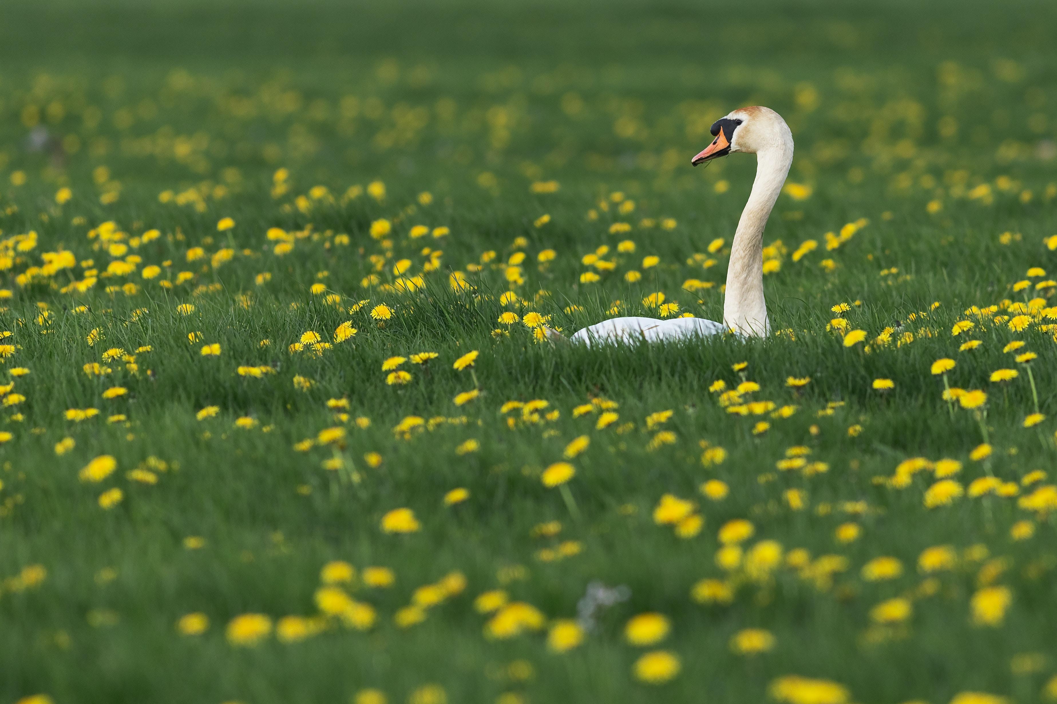 Swan on yellow flower field