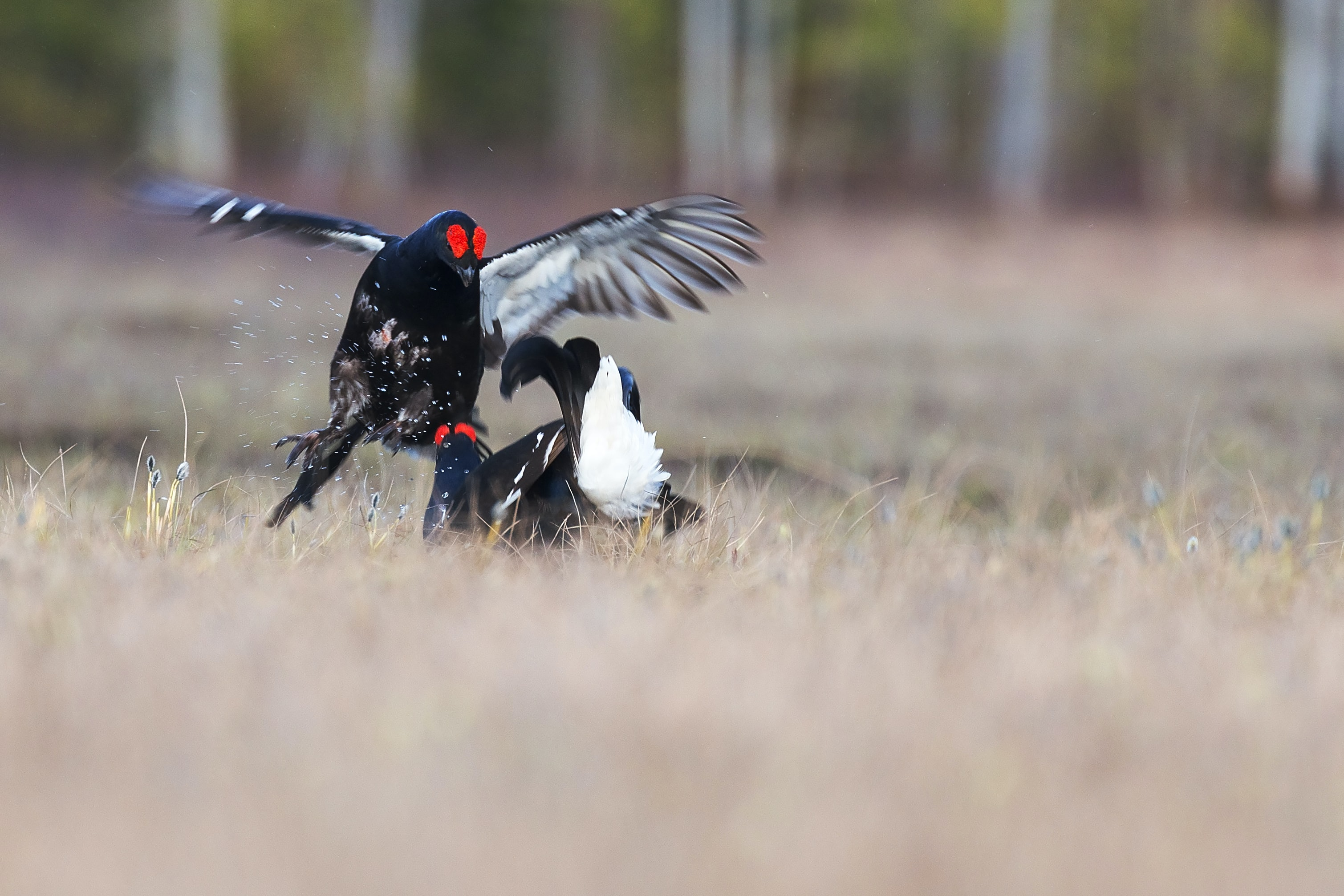 selective focus photography of two black-and-white birds