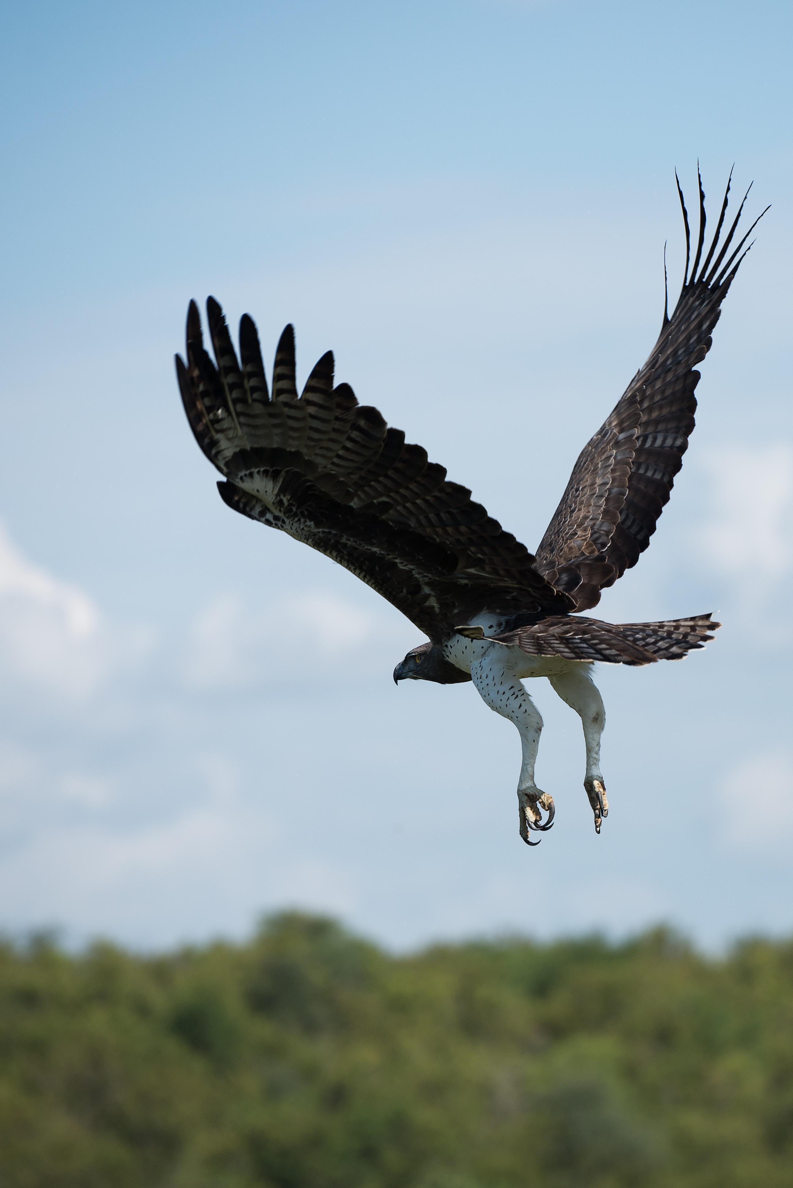 soaring brown and white falcon