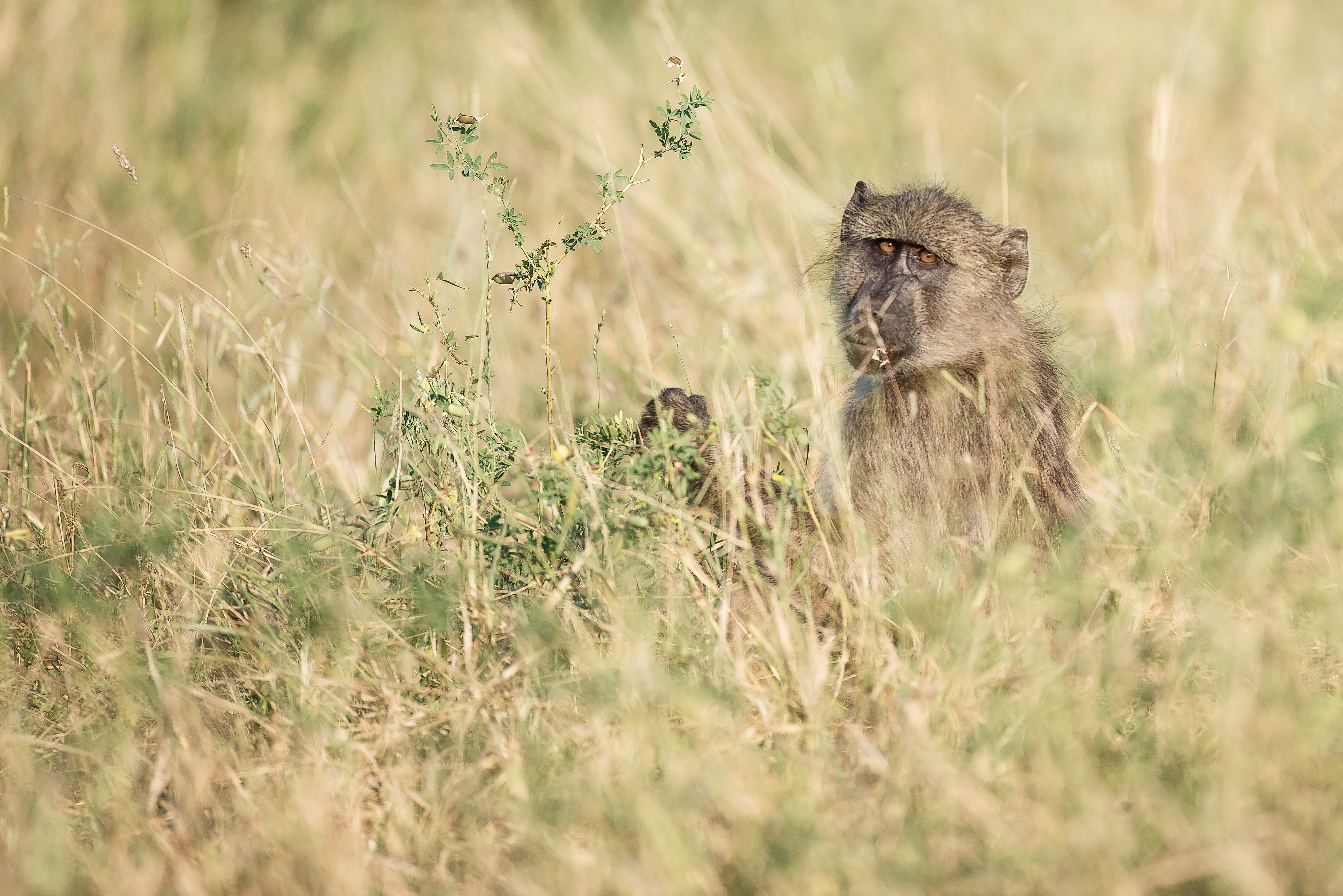 shallow focus photography of monkey in the middle of grass field