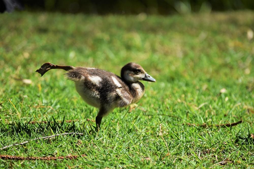 brown and white duck on grass