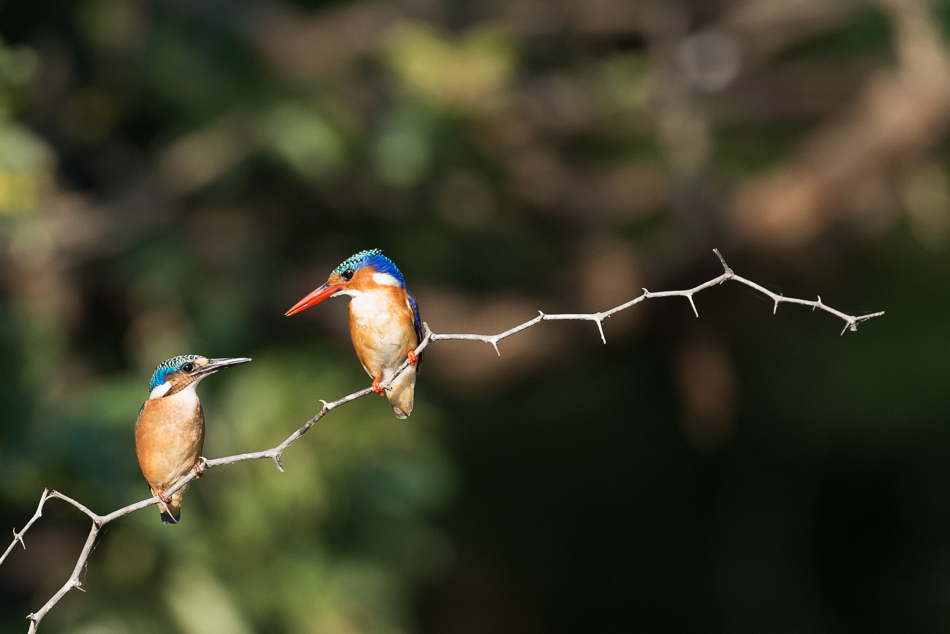 blue and brown birds on gray stem