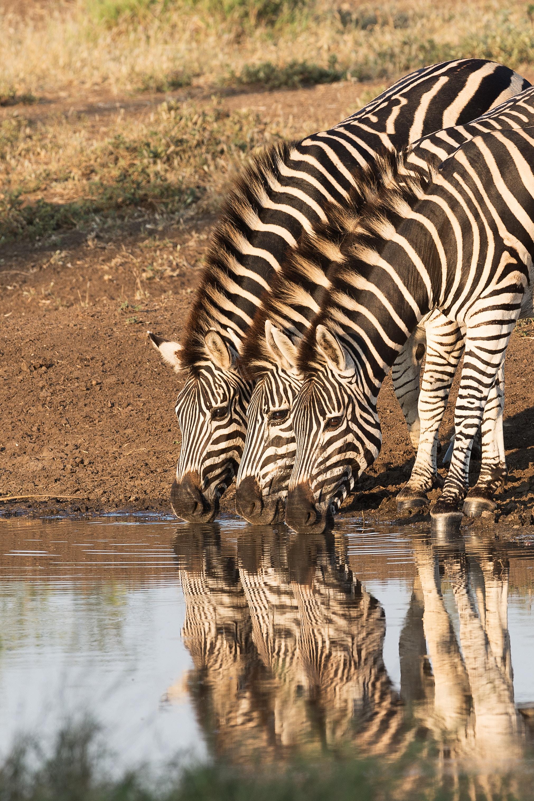 three zebra drinking water from body of water