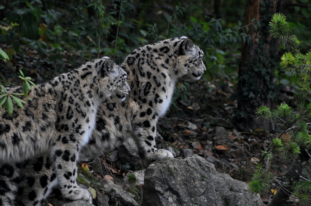 two brown-and-black leopards