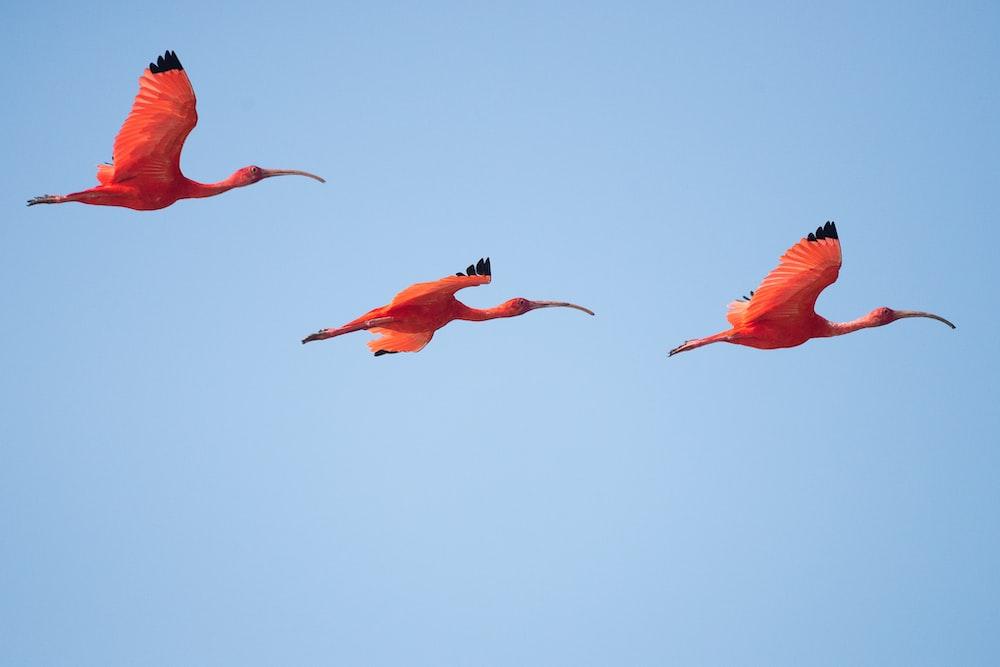 three flying flamingos