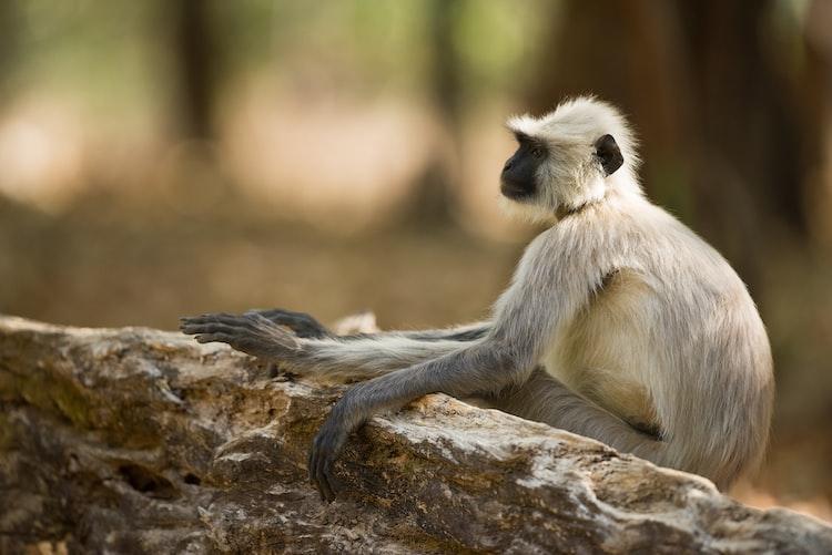 langur monkey Sri Lanka