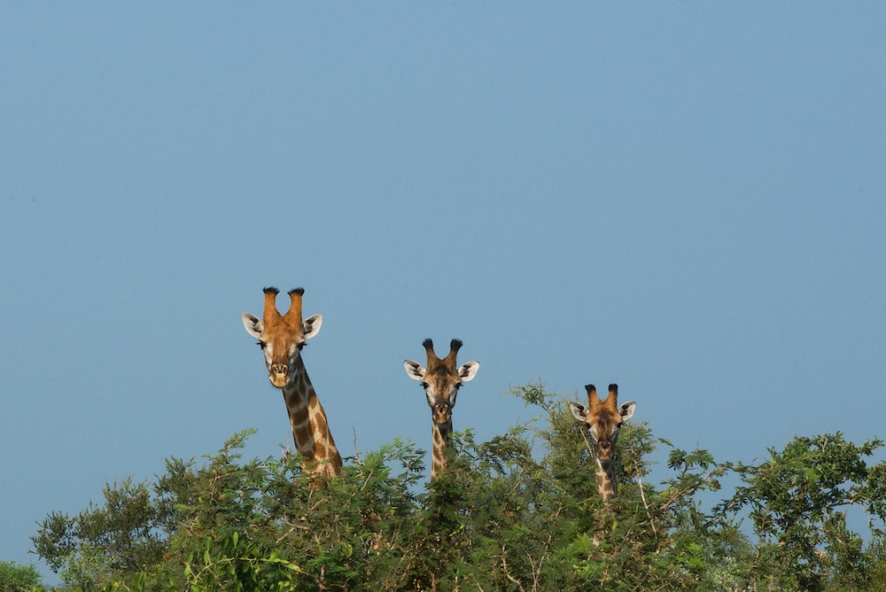 three giraffes at the back of green trees