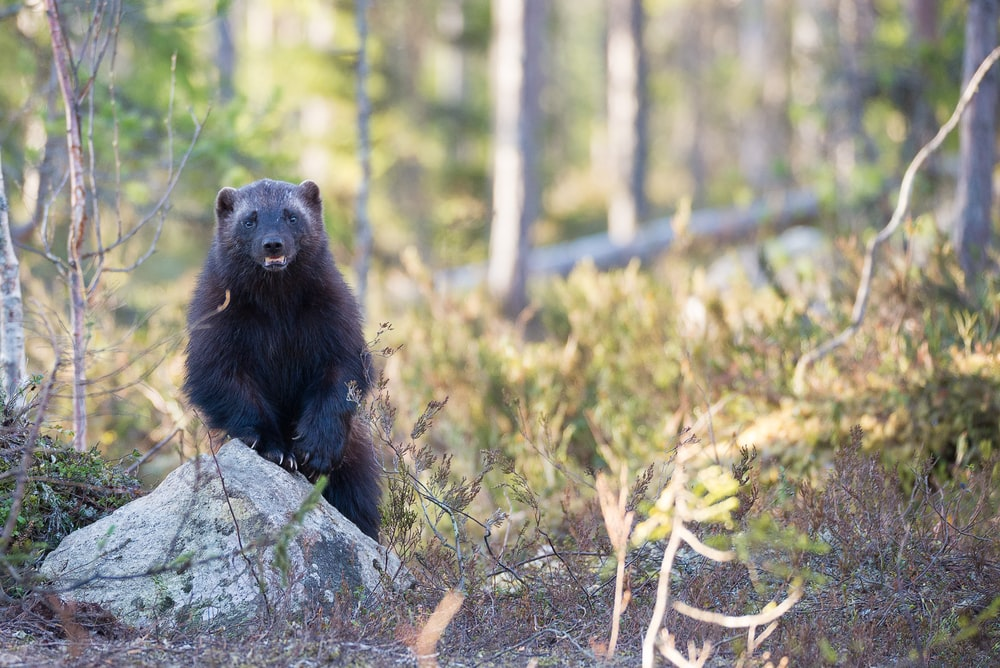 selective focus photography of black 4-legged animal in forest
