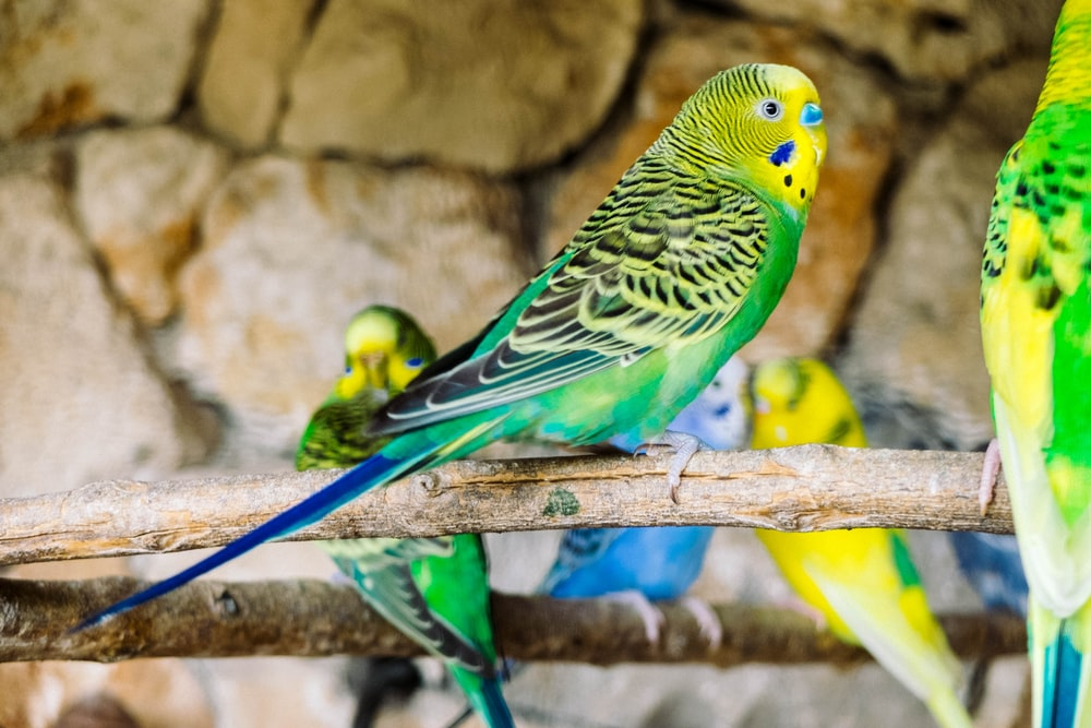 close up photo of budgerigar perched on stick