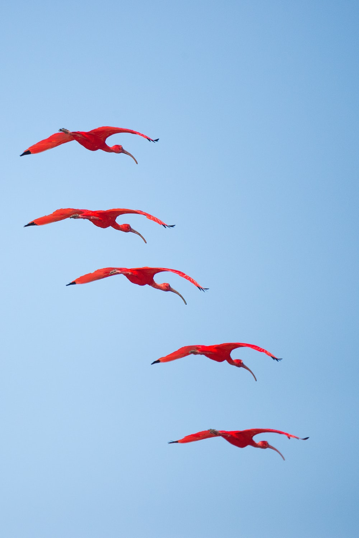 red birdsa flying