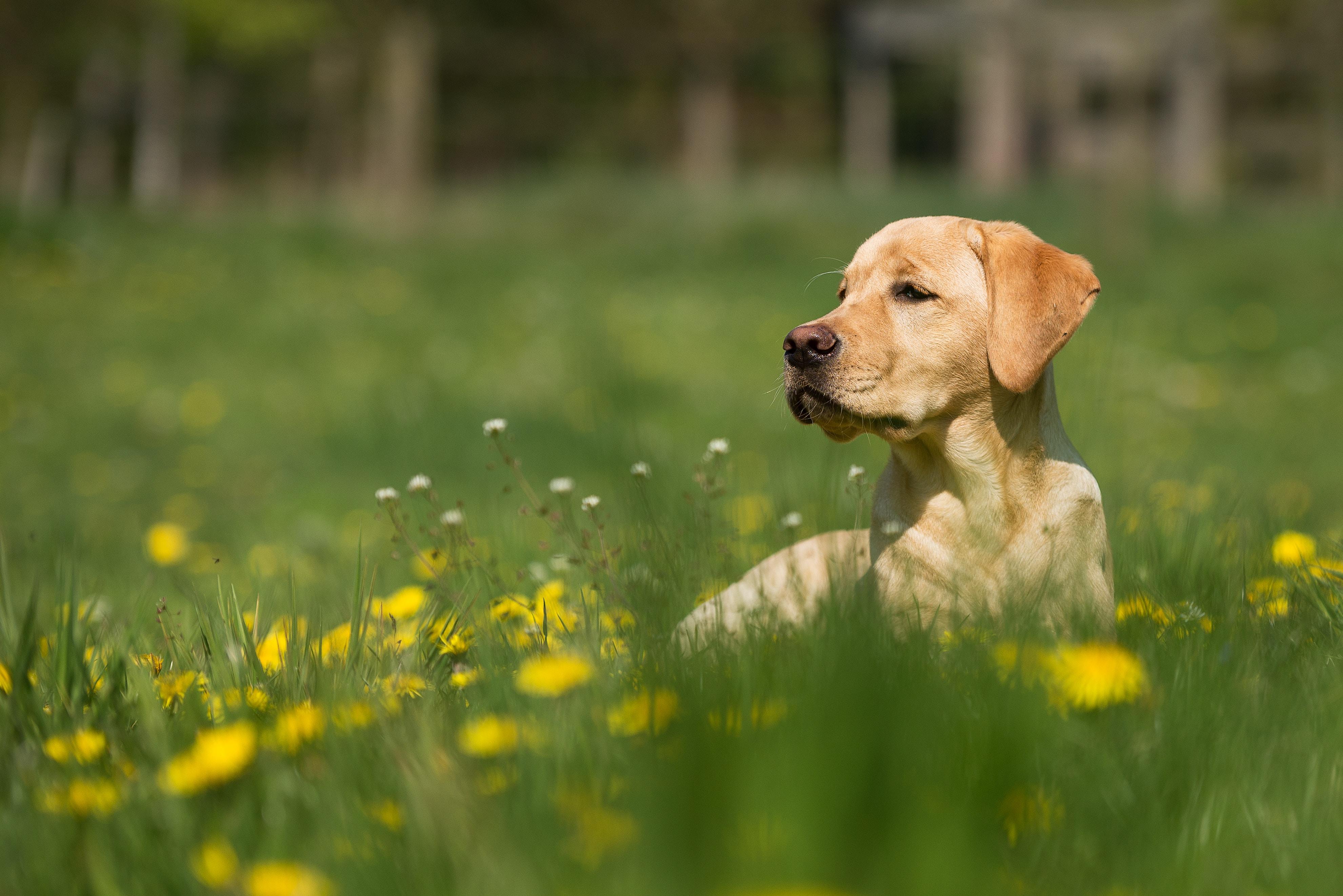 reclining adult yellow Labrador retriever