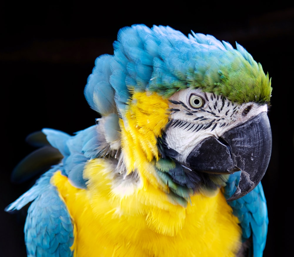 hyacinth macaw with black background