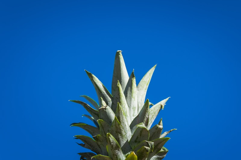 selective focus photography pineapple crown