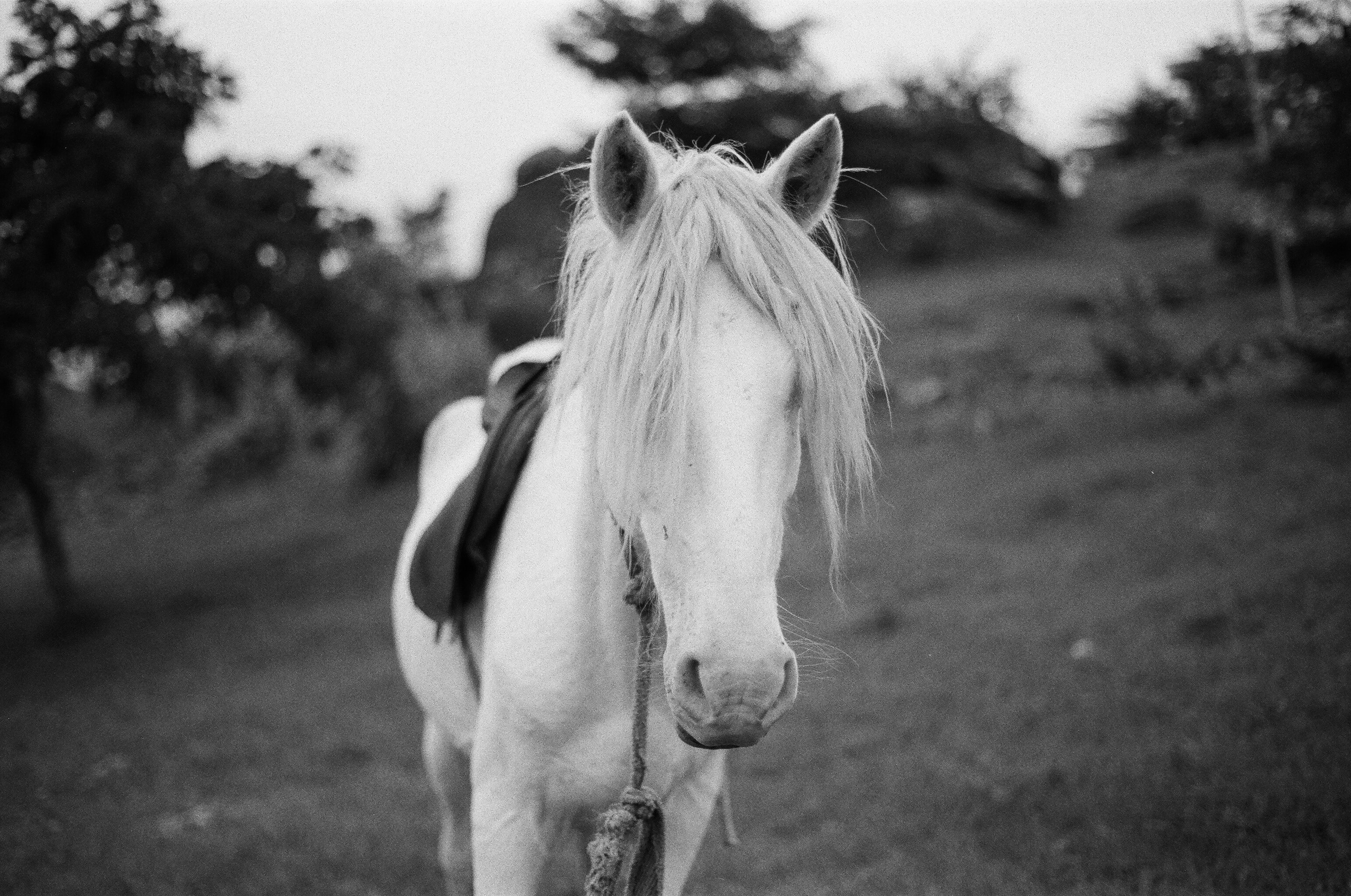 greyscale photography of horse