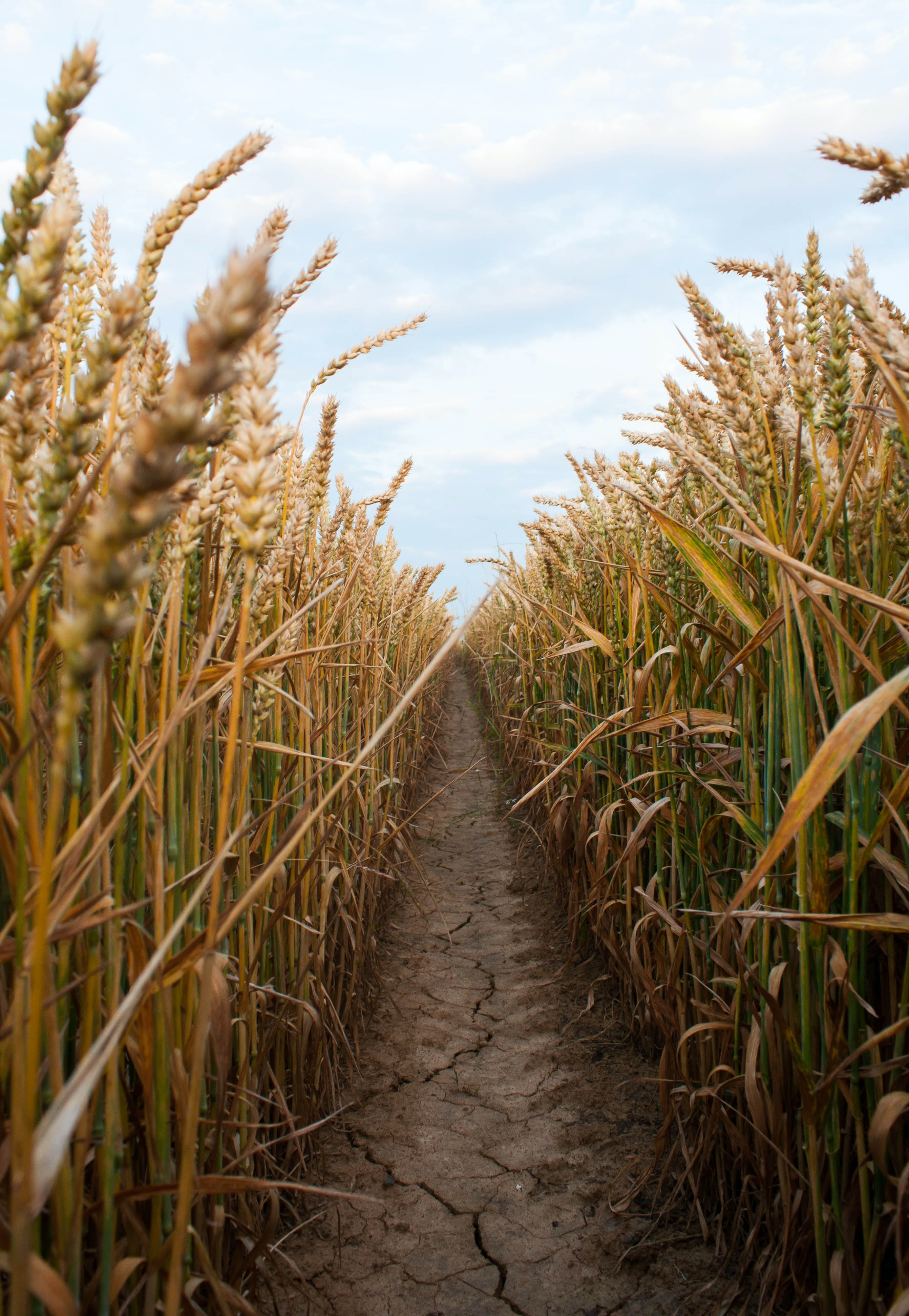 pathway between brown wheat plants at daytime