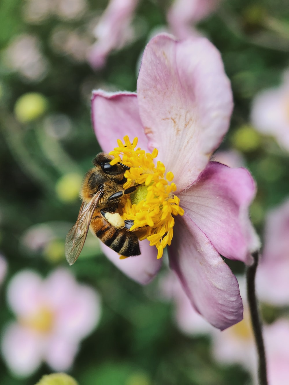 shallow focus photography of bee on pink petal flower
