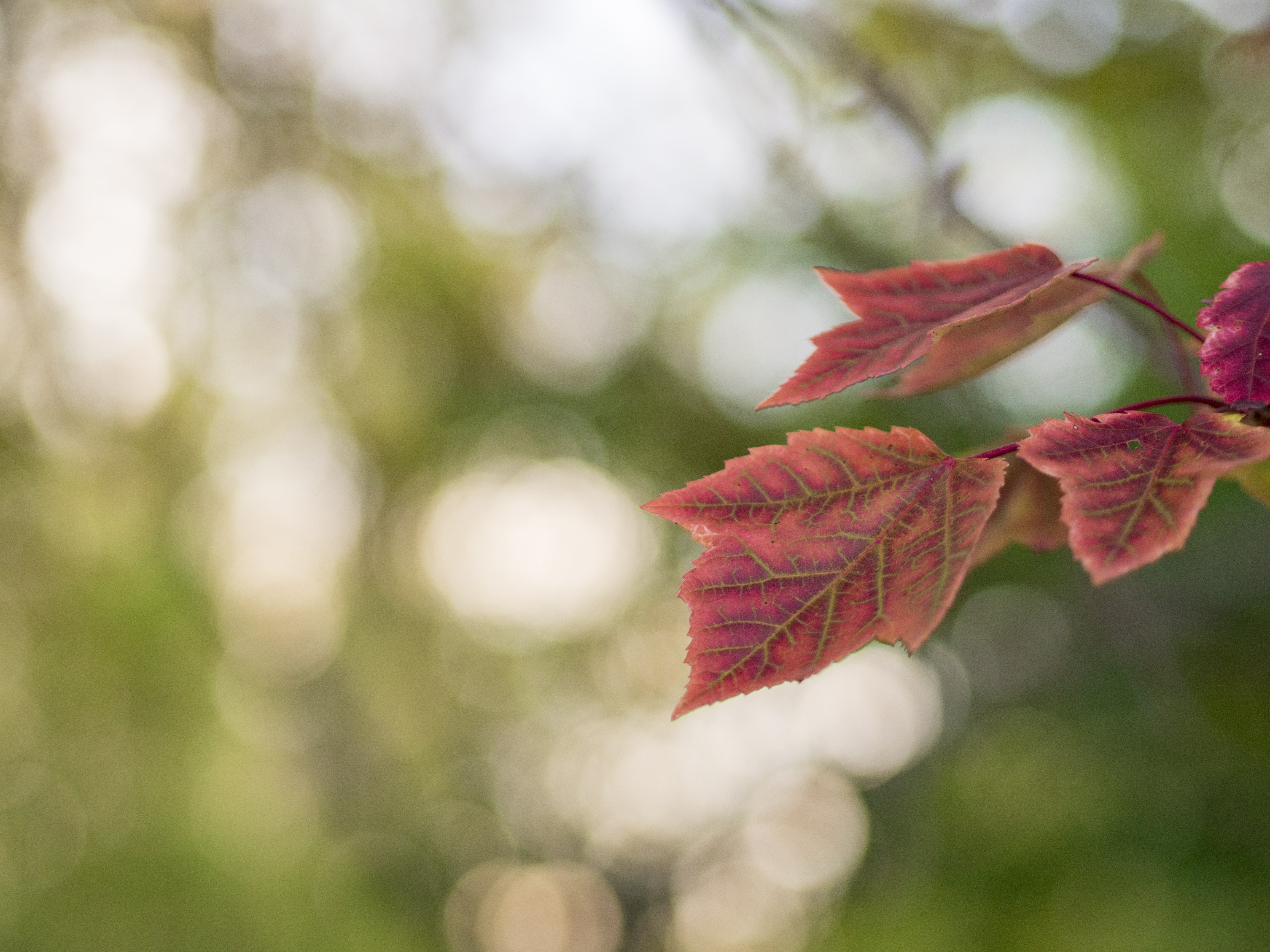 red leaf bokeh photography