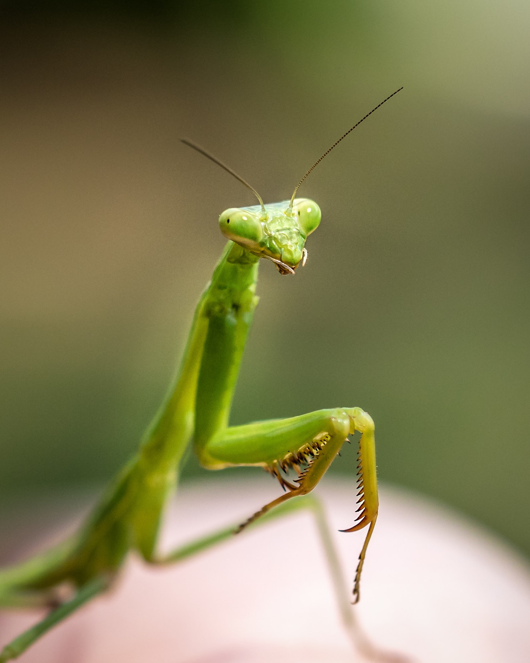 close up photo of green praying mantis