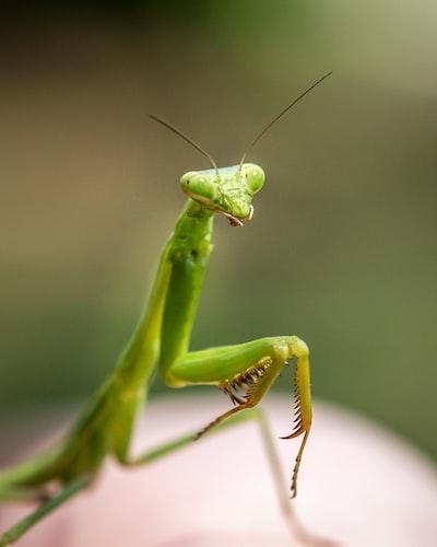 Praying mantis, obligingly perching on my child's finger.