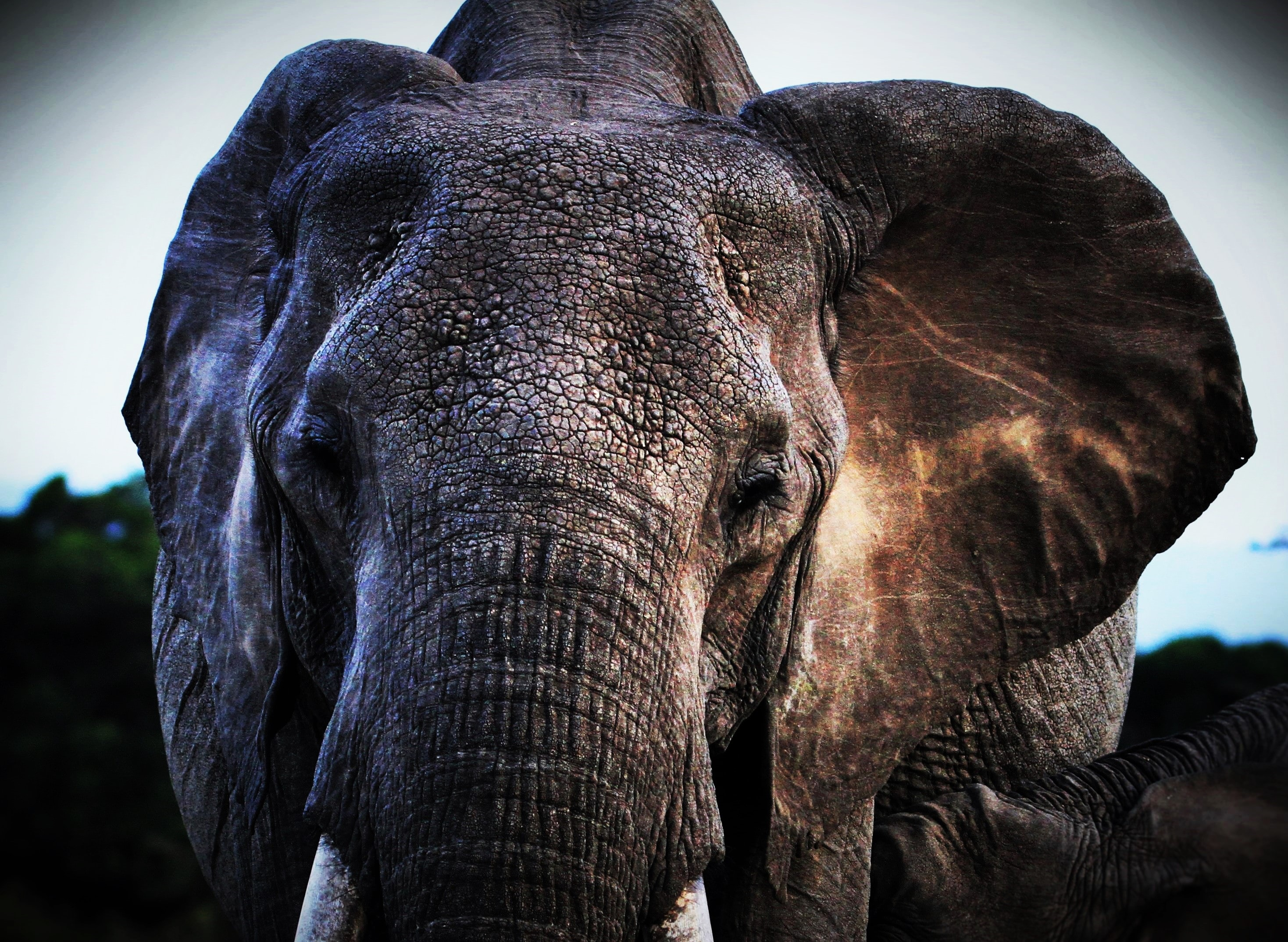 close up photo of brown elephant's face