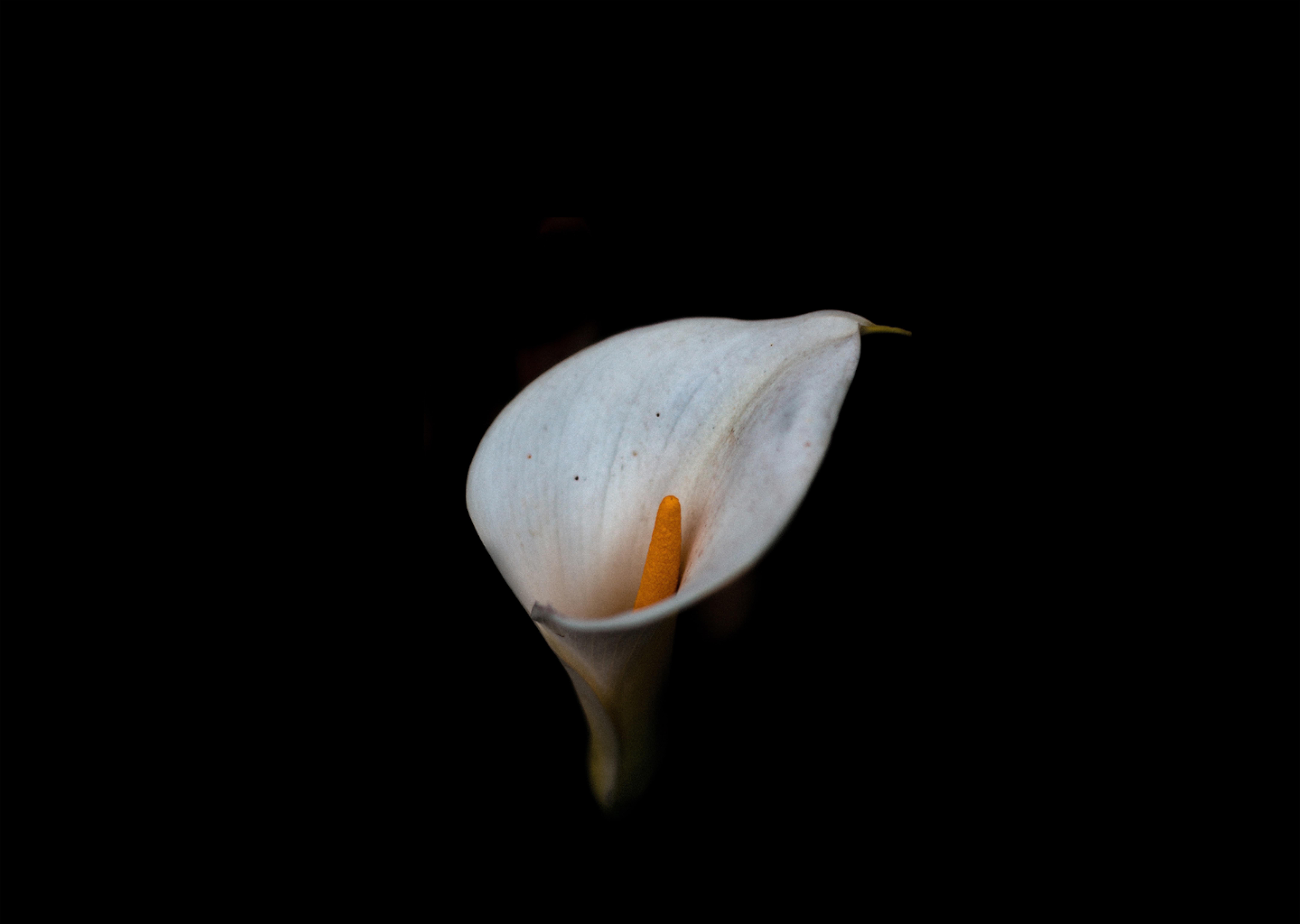 photo of Calla lily