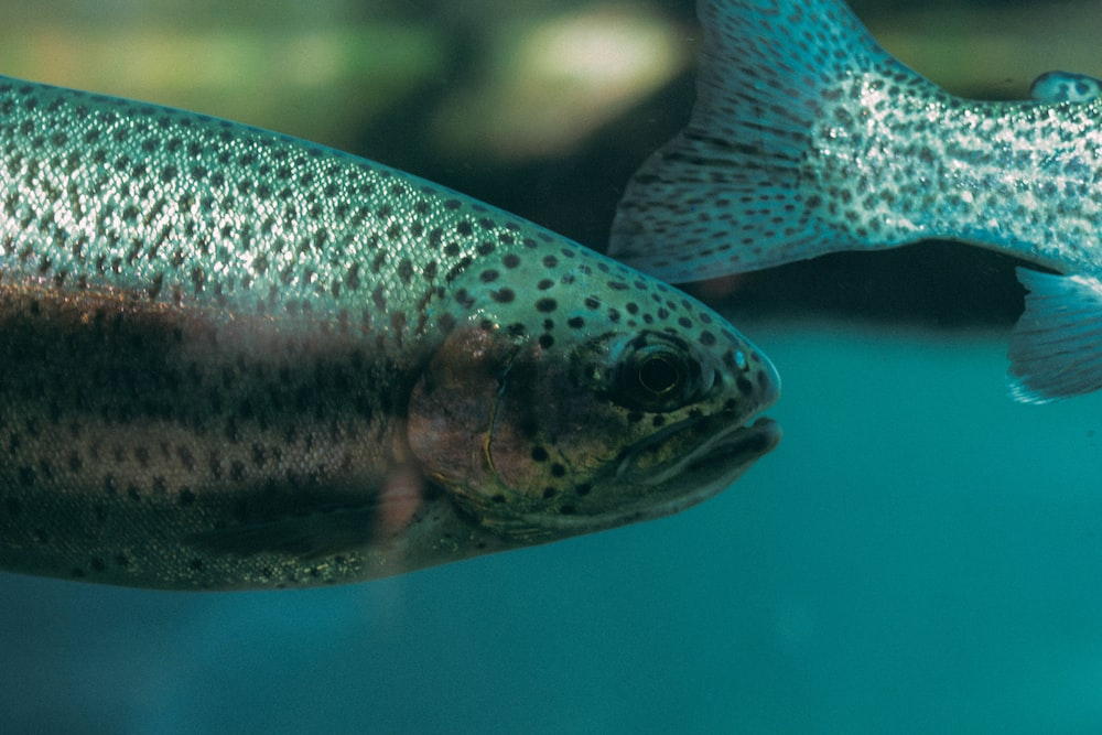 close-up photography of gray fish