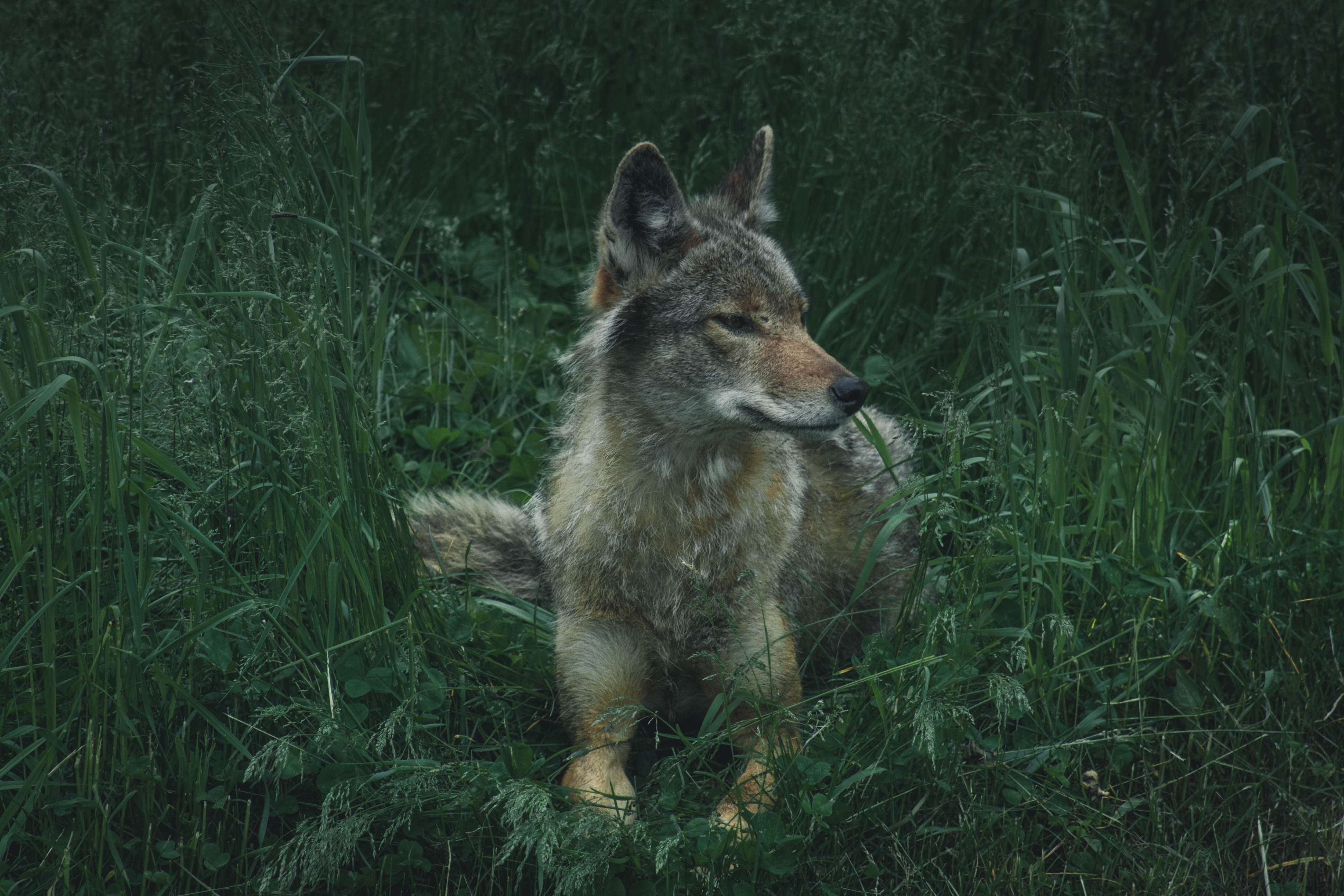 gray, brown, and white wolf on lying green grass